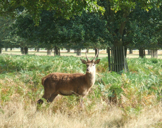 Young Red deer stag in Bushy Park. - geograph.org.uk - 909450.jpg