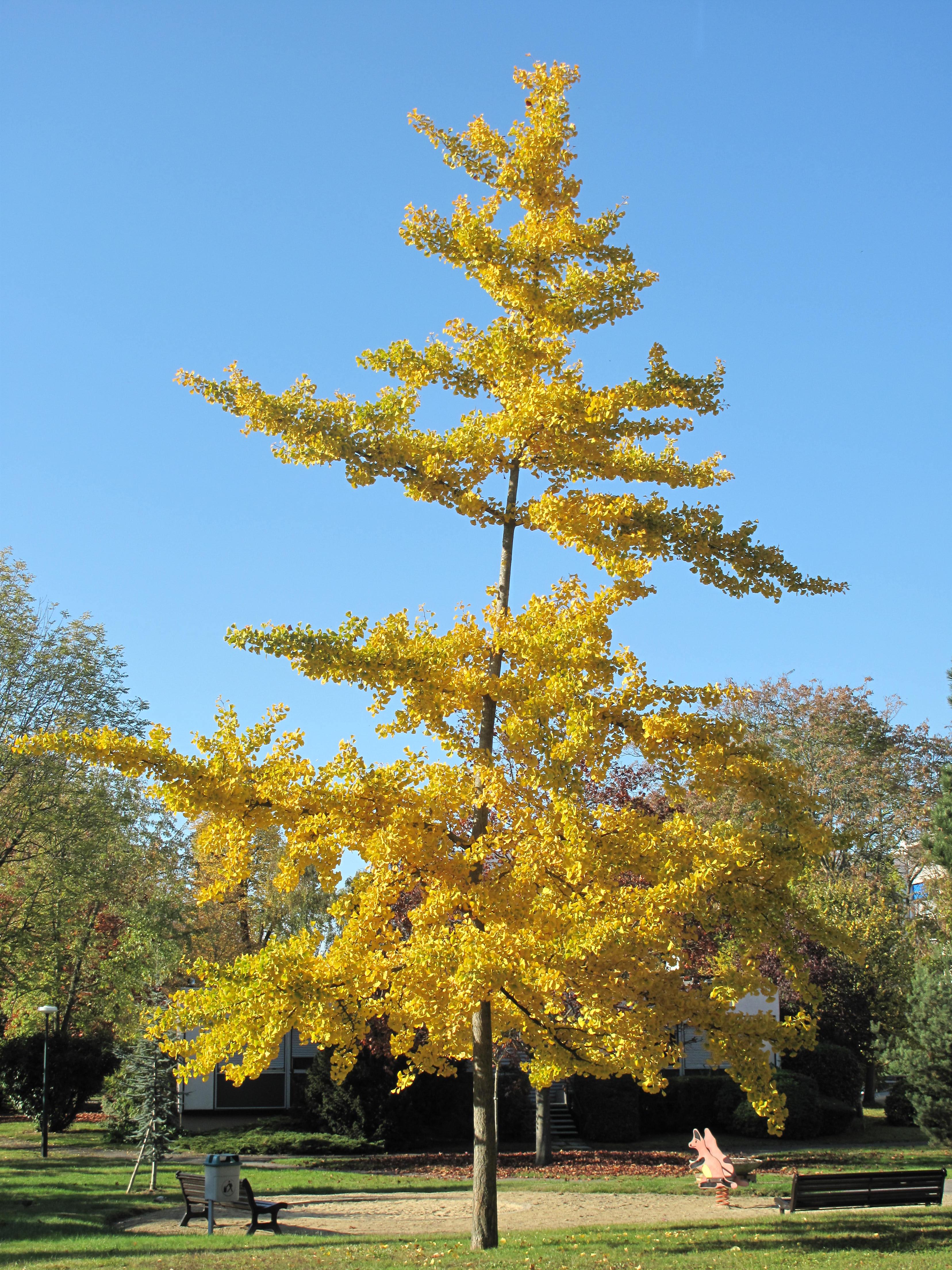 Ginkgo joven, en el parque Aulnay, Vaires-sur-Marne (Francia). /Imagen: Wikipedia.