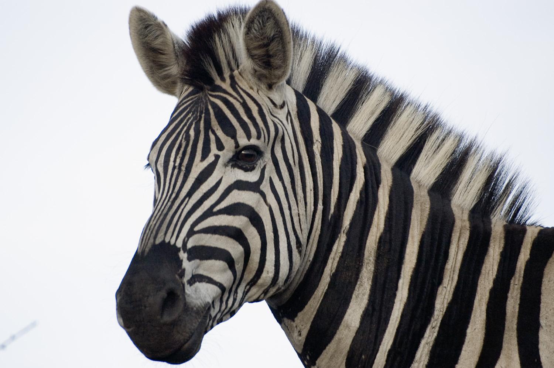 торт картинки зебра в хорошем качестве камин прекрасно