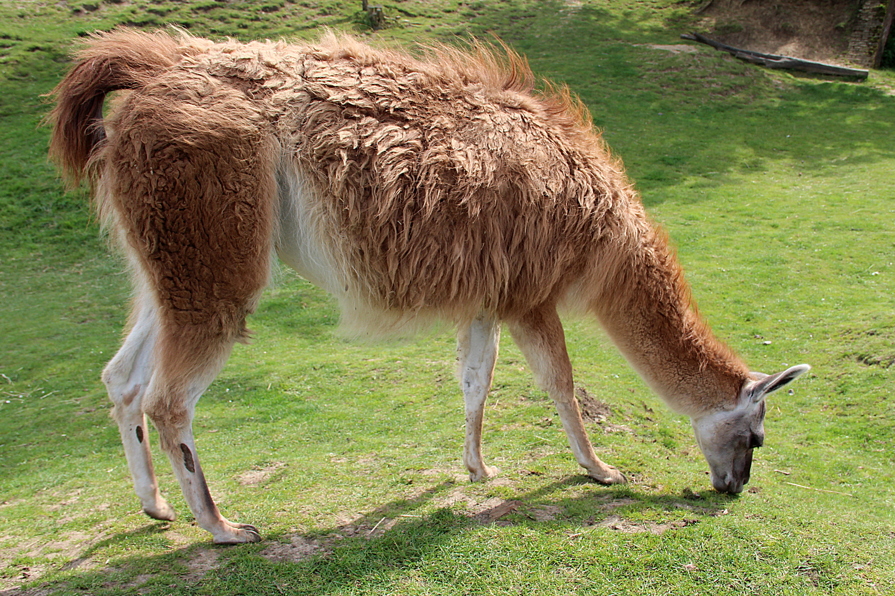 What Do Llamas Eat For Food