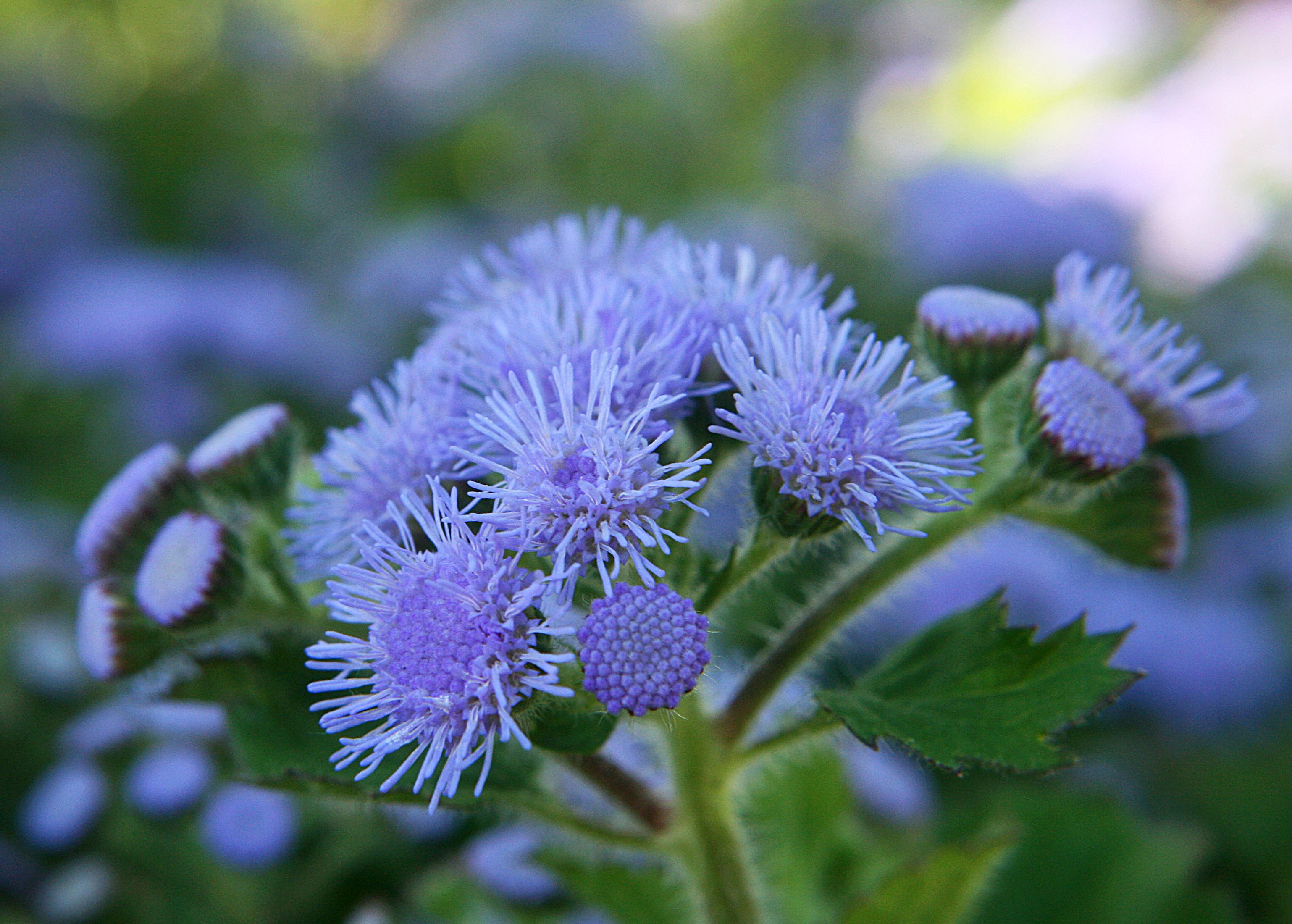42 растения с синими цветками Дизайн участка (Огород. ru) 89