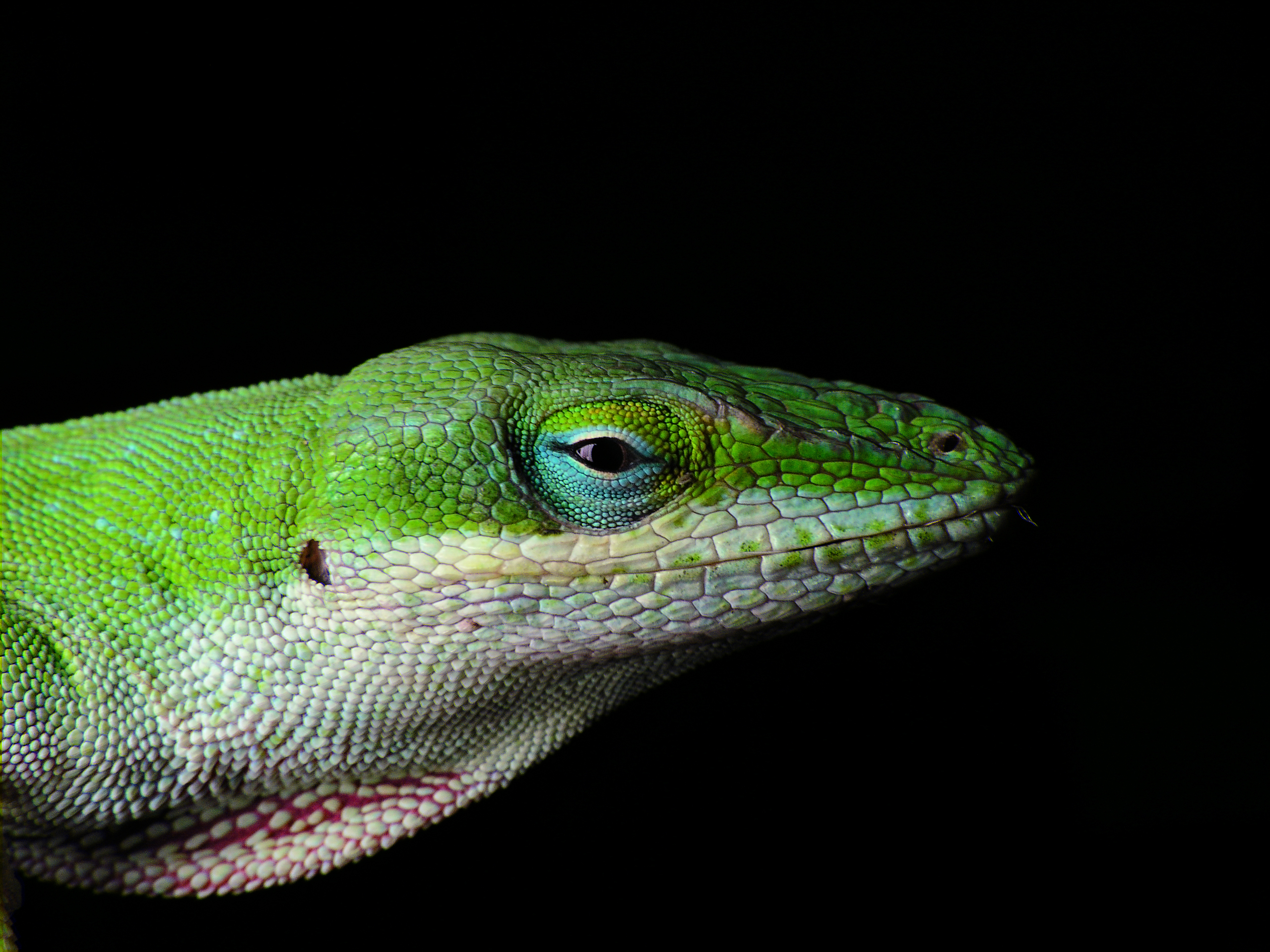 Up Close Anole