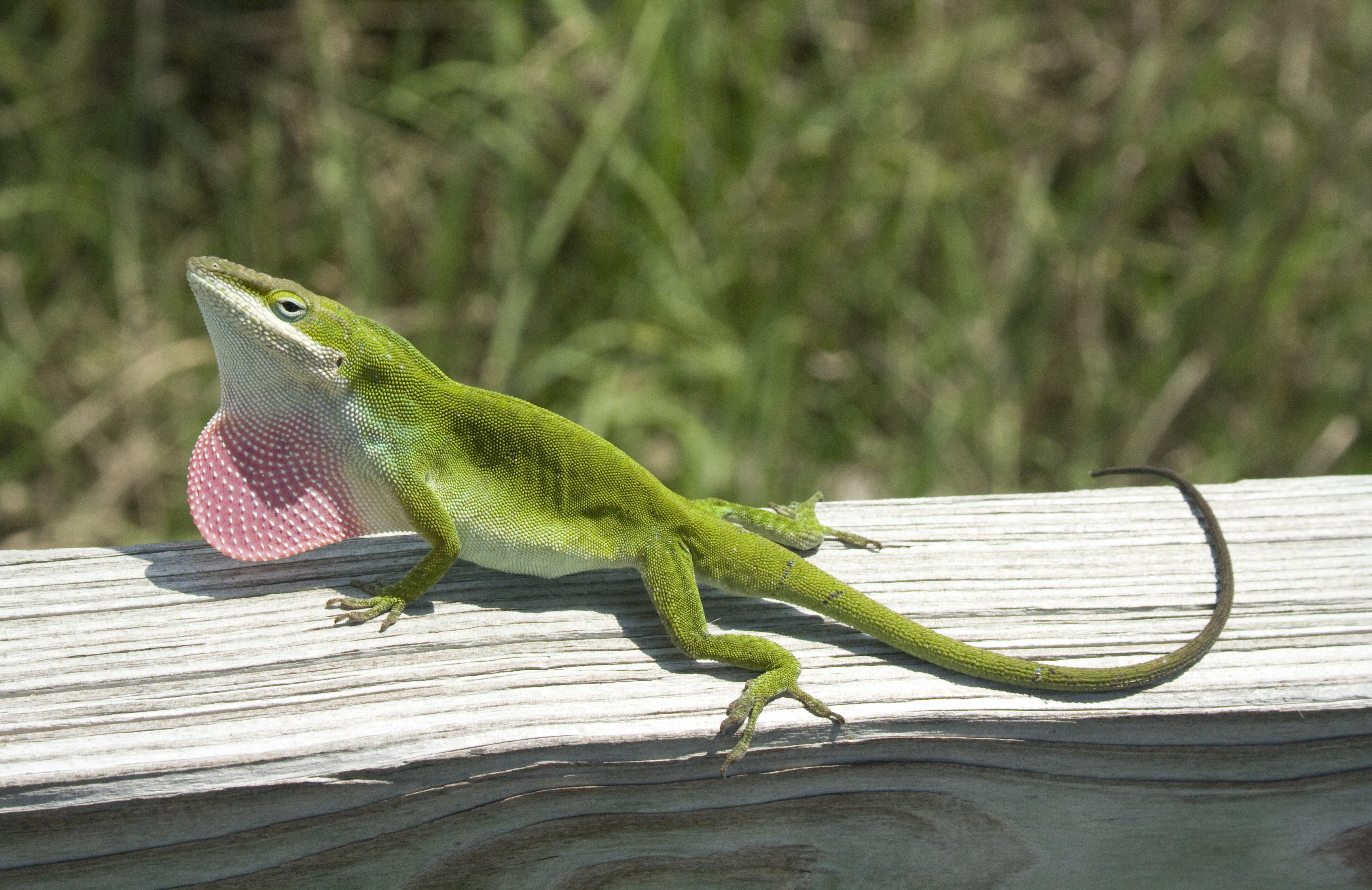 Carolina Green Anole by Jeff Heard