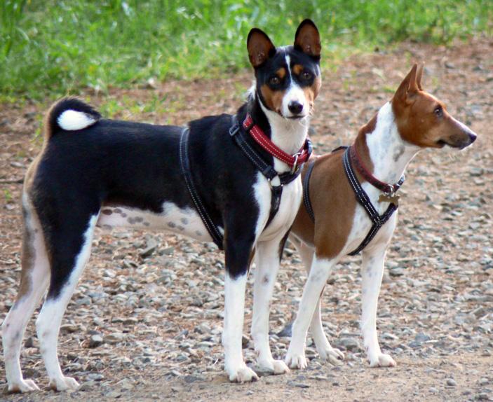 Estos perros no toleran la indiferencia, pero tampoco son amantes a los mimos en exceso