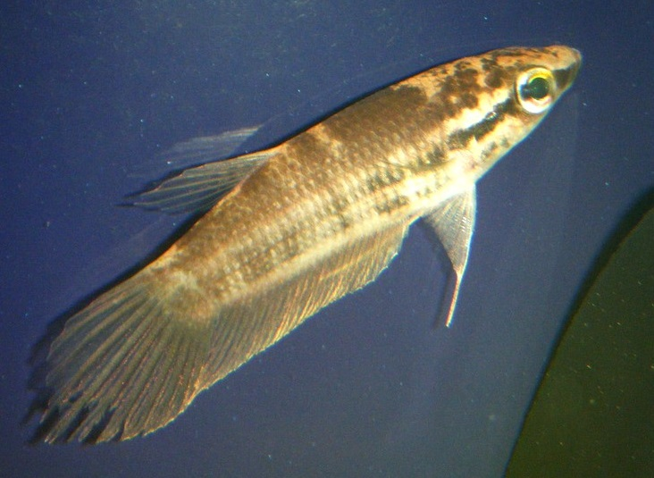 File:Betta pugnax 02.jpg