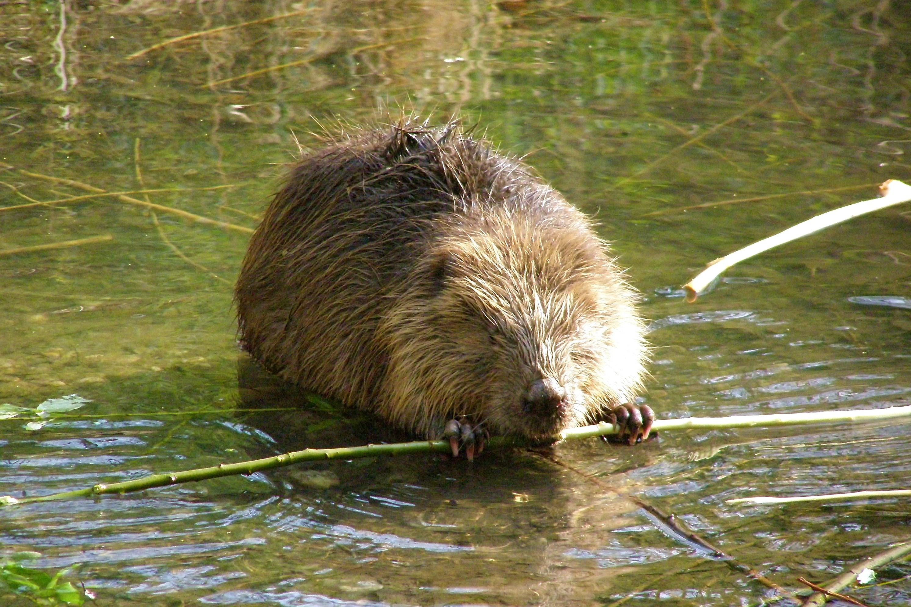 The reintroduction of beavers castor fiber in england for Castor habitat