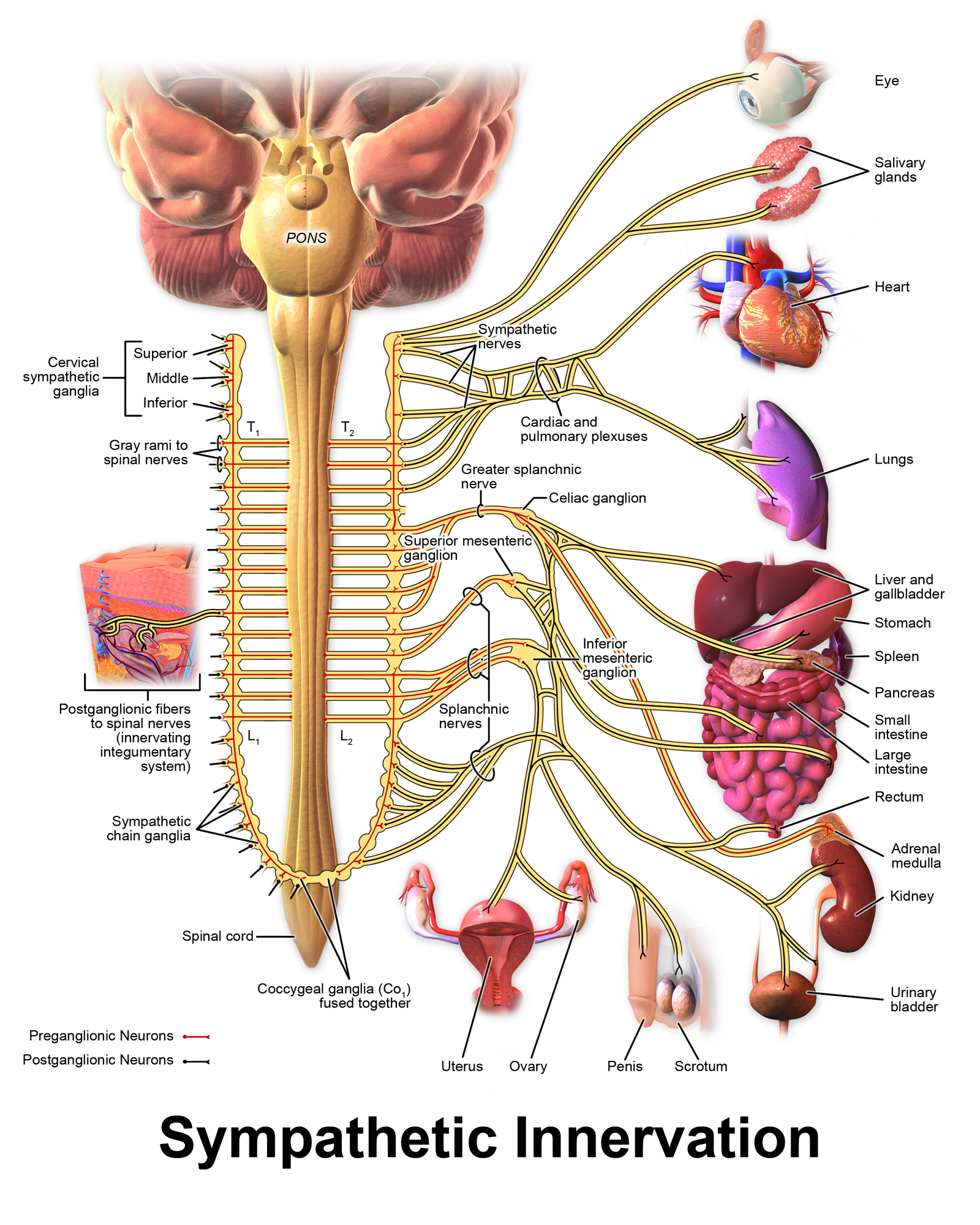 File Blausen 0838 Sympathetic Innervation Png Wikimedia
