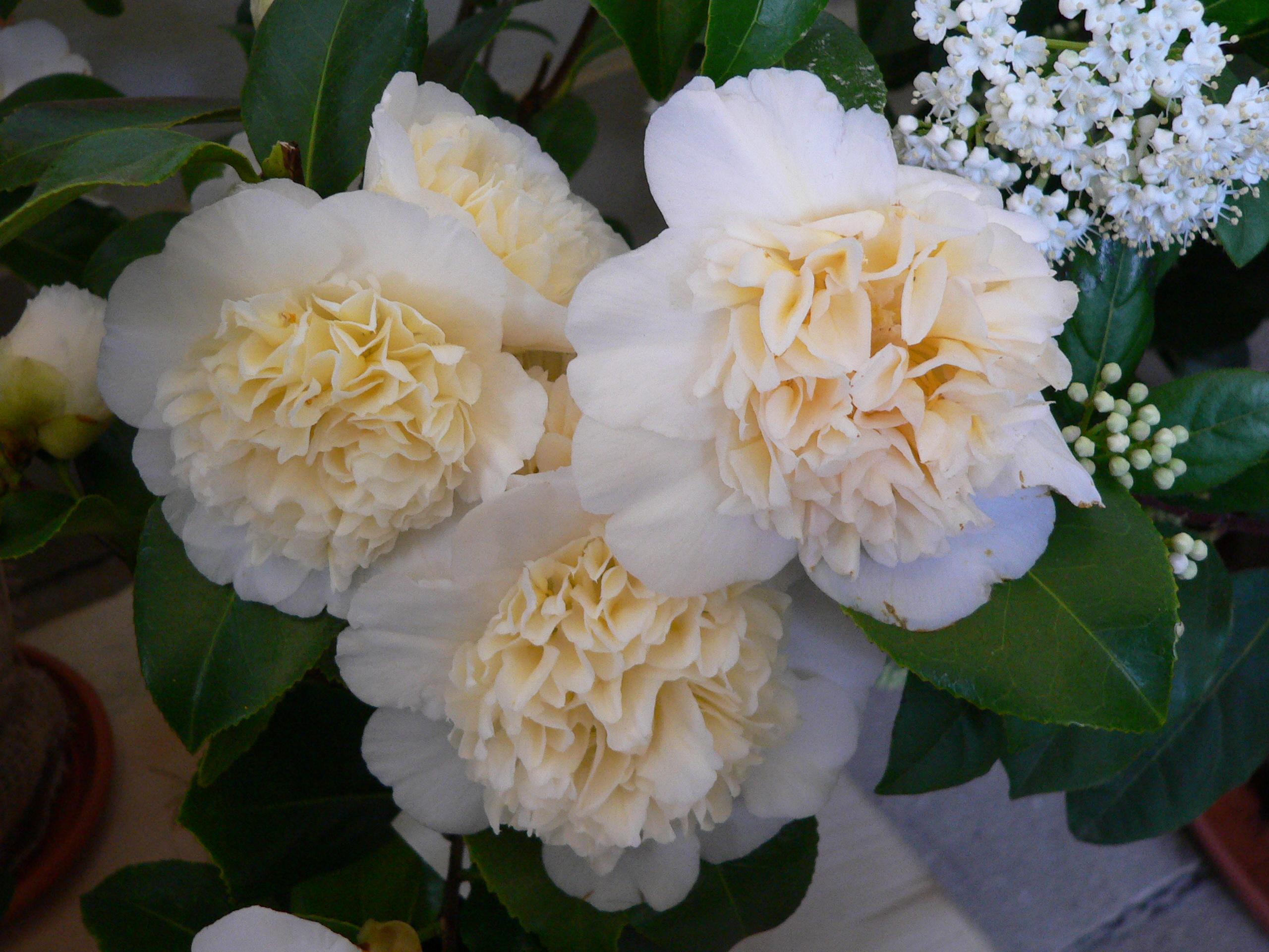 камелия цветок фото: