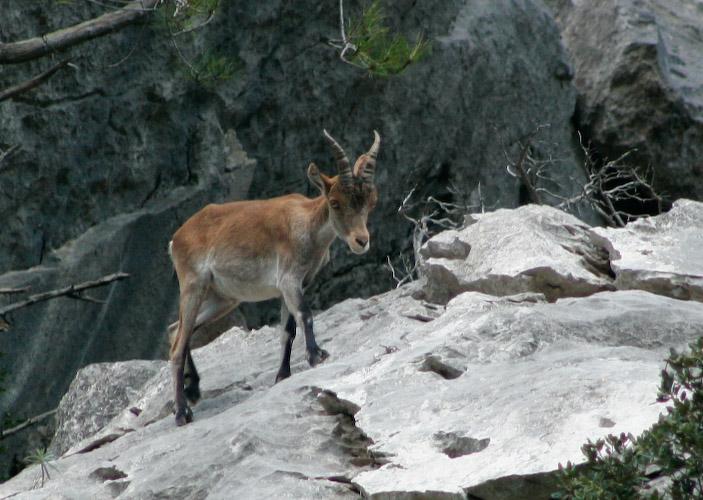 Un jeune ibex des Pyrénées (source wikipedia commons)
