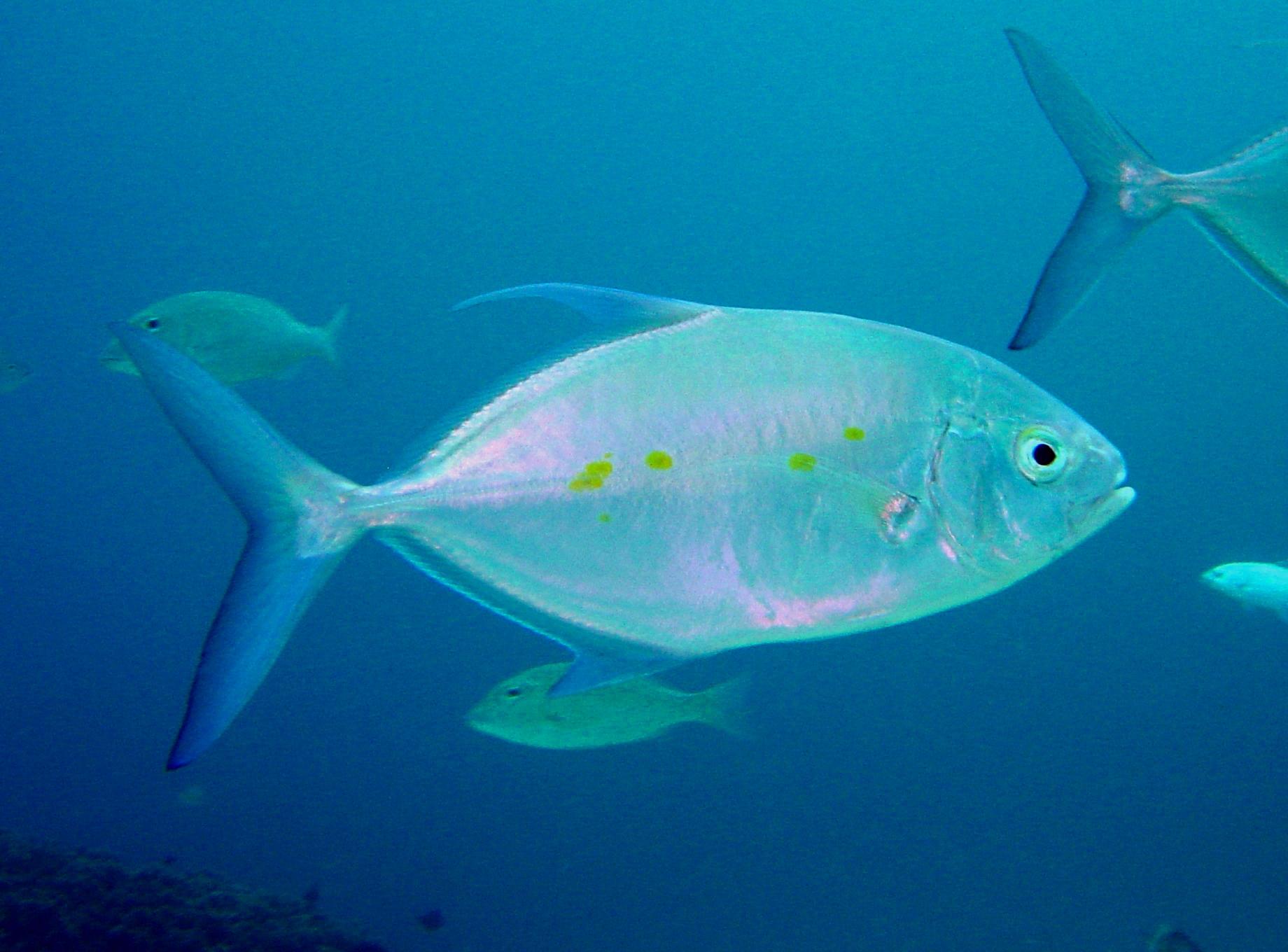 GT family - bluefin trevally plat N - YouTube