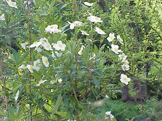 Carpenteria californica0.jpg