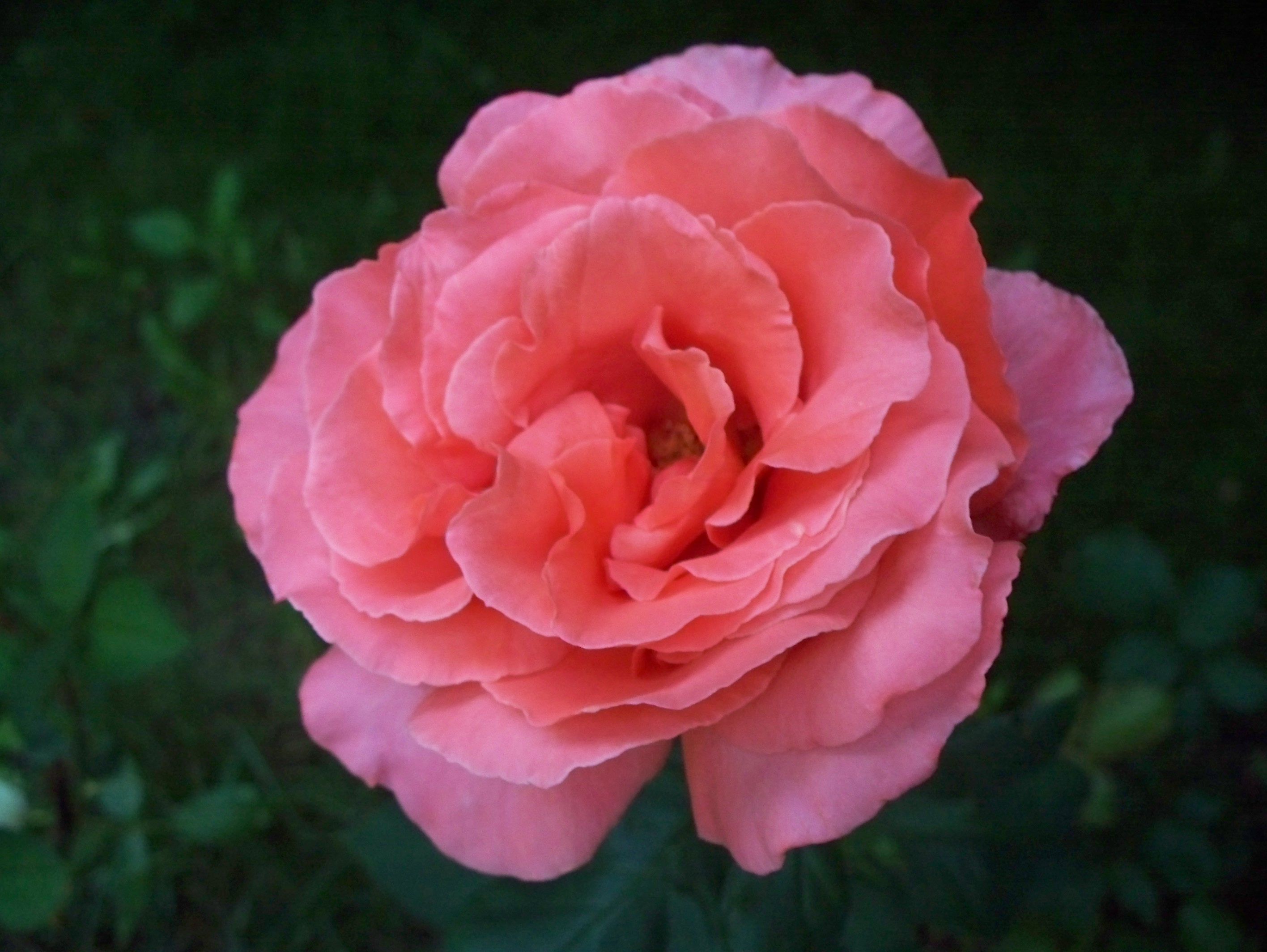 Filecloseup Of A Pink Rose In Full Bloomg Wikimedia Commons