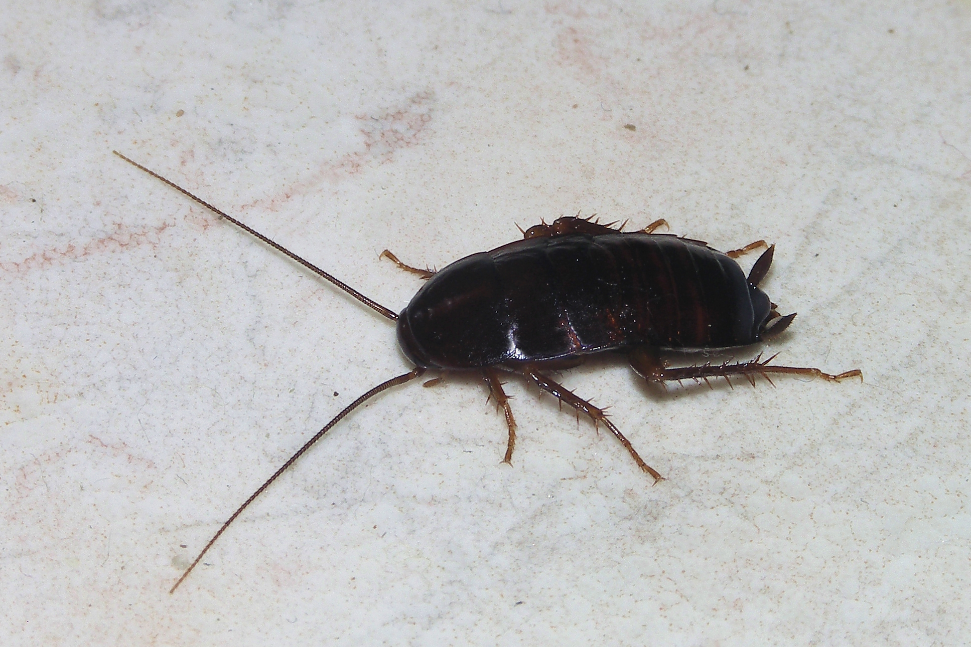 File Cockroach May 2007 1 Jpg Wikimedia Commons