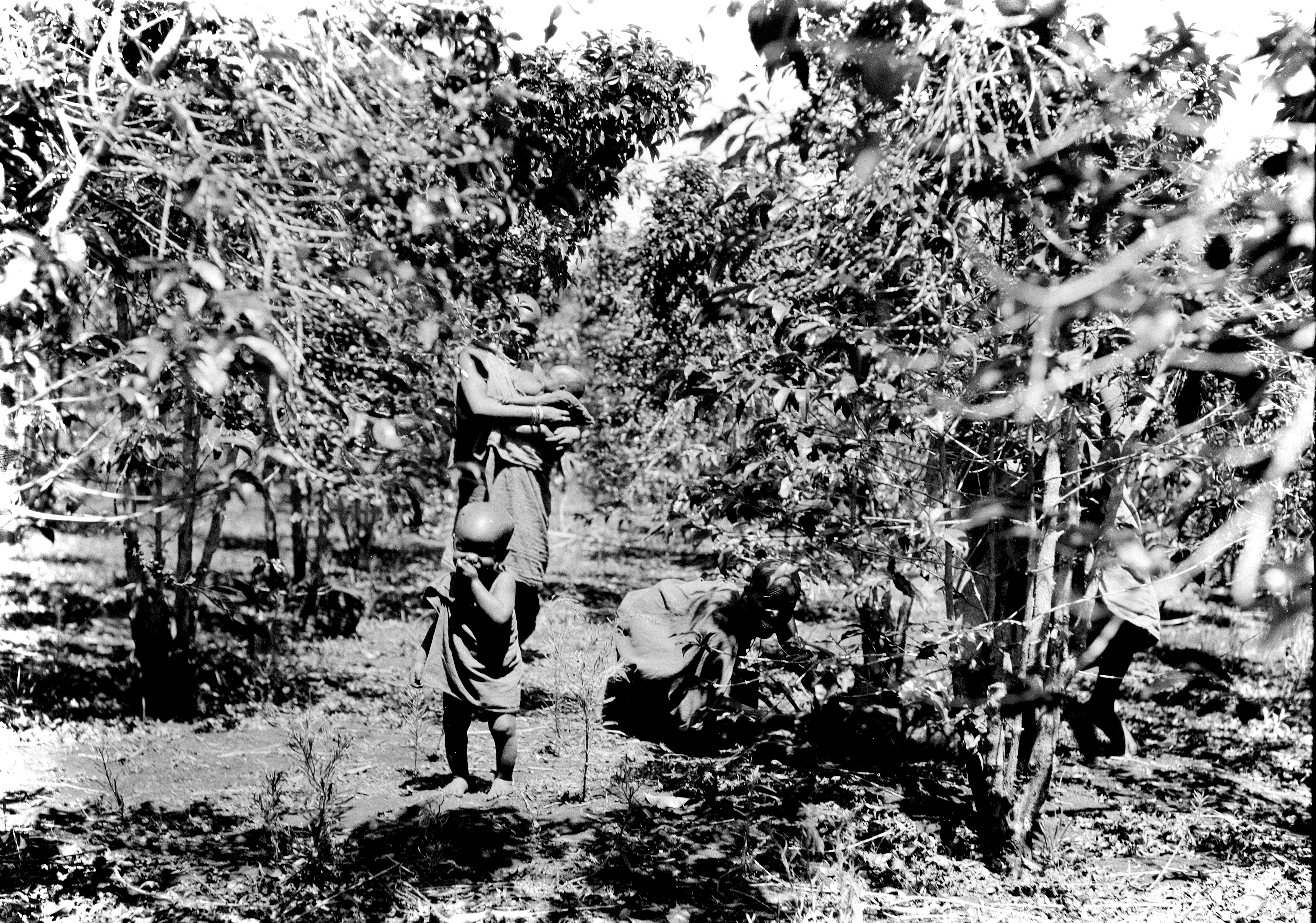 File Coffee Plantation Kenya From Matson Collection 1936