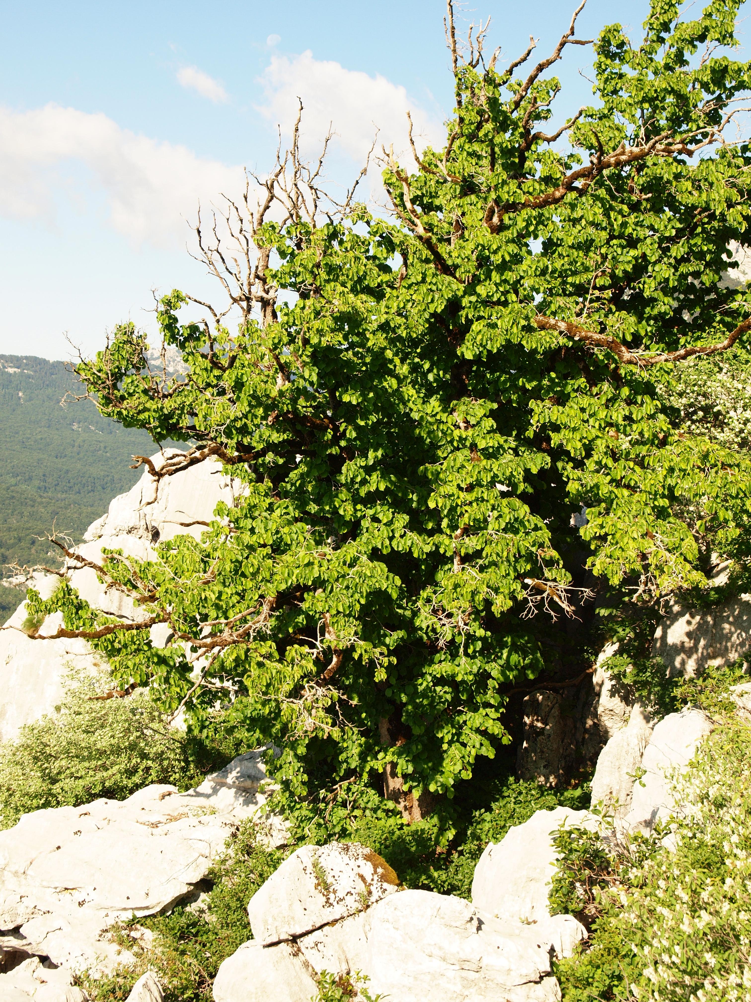 Baum-Hasel Corylus colurna Pflanze 70-80cm T/ürkische Hasel Haselnuss Baumhasel
