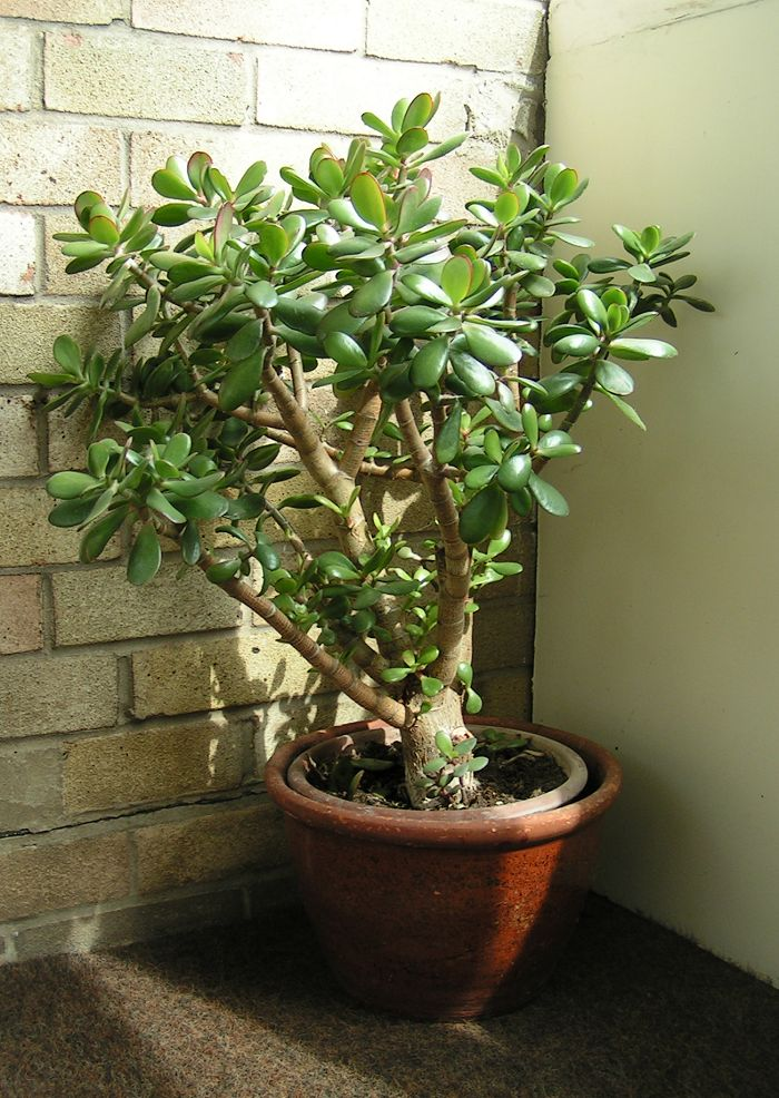 File crassula ovata wikipedia for Arbre bonsai exterieur
