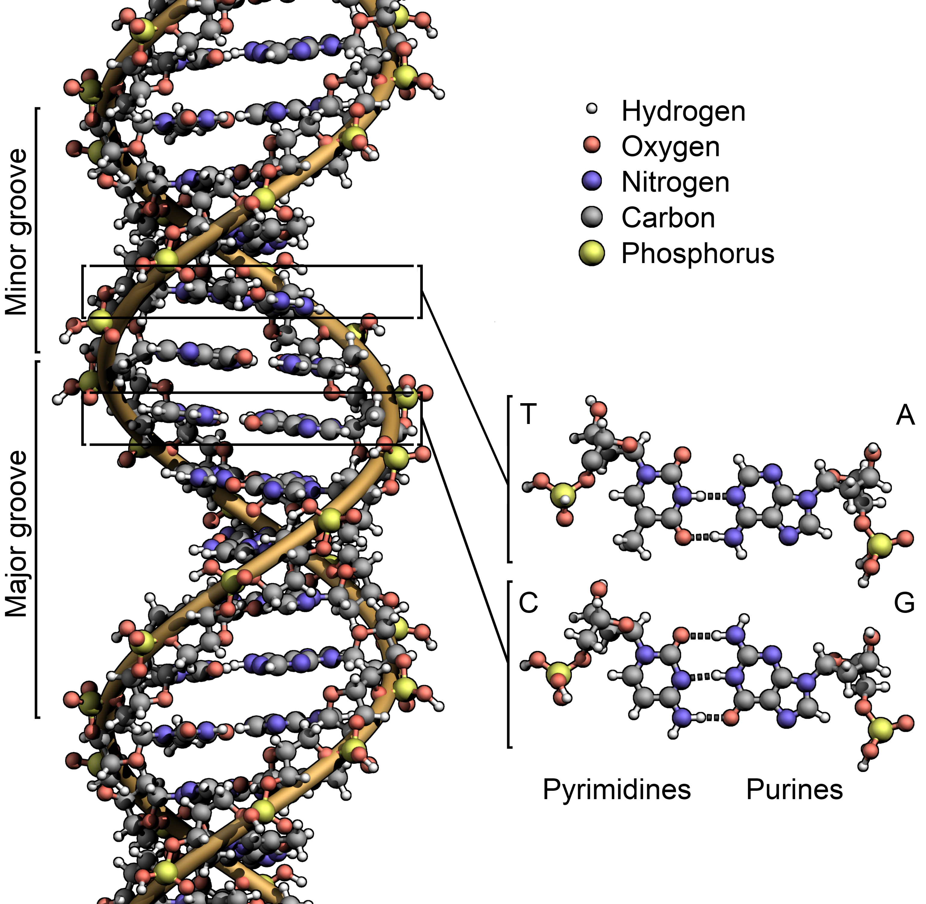 deoxyribonucleic acid dna Dna (dna = deoxyribonucleic acid) • dna is the genetic material of all living cells and of many viruses • dna is: an alpha double helix of two polynucleotide strands .