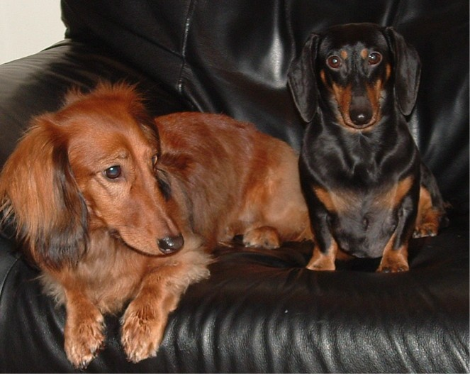 File:Dachshunds.jpg