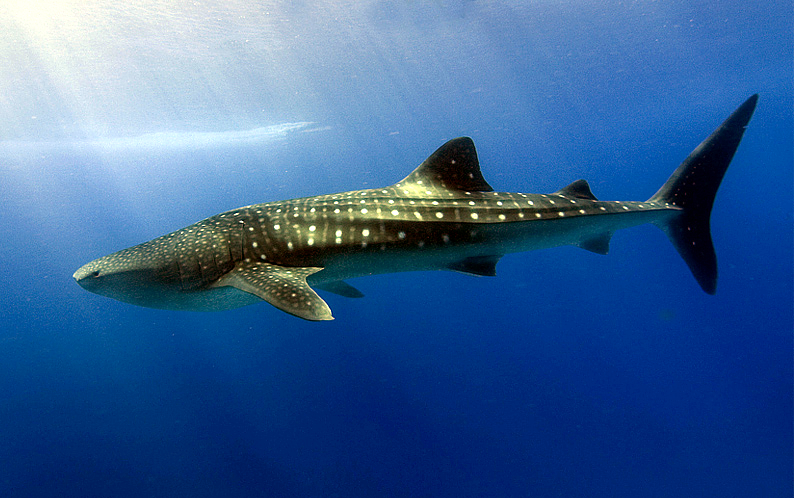 You can go snorkelling with hundreds of whale sharks in Holbox, in northwest Cancun.