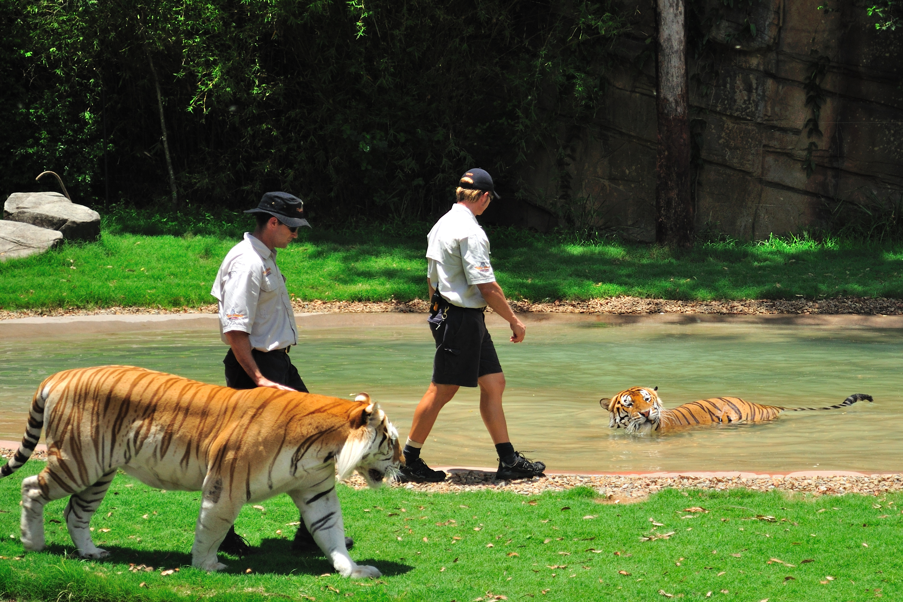 Tiger Or Hands Off Mom Both Types >> Tiger Island Dreamworld Wikipedia