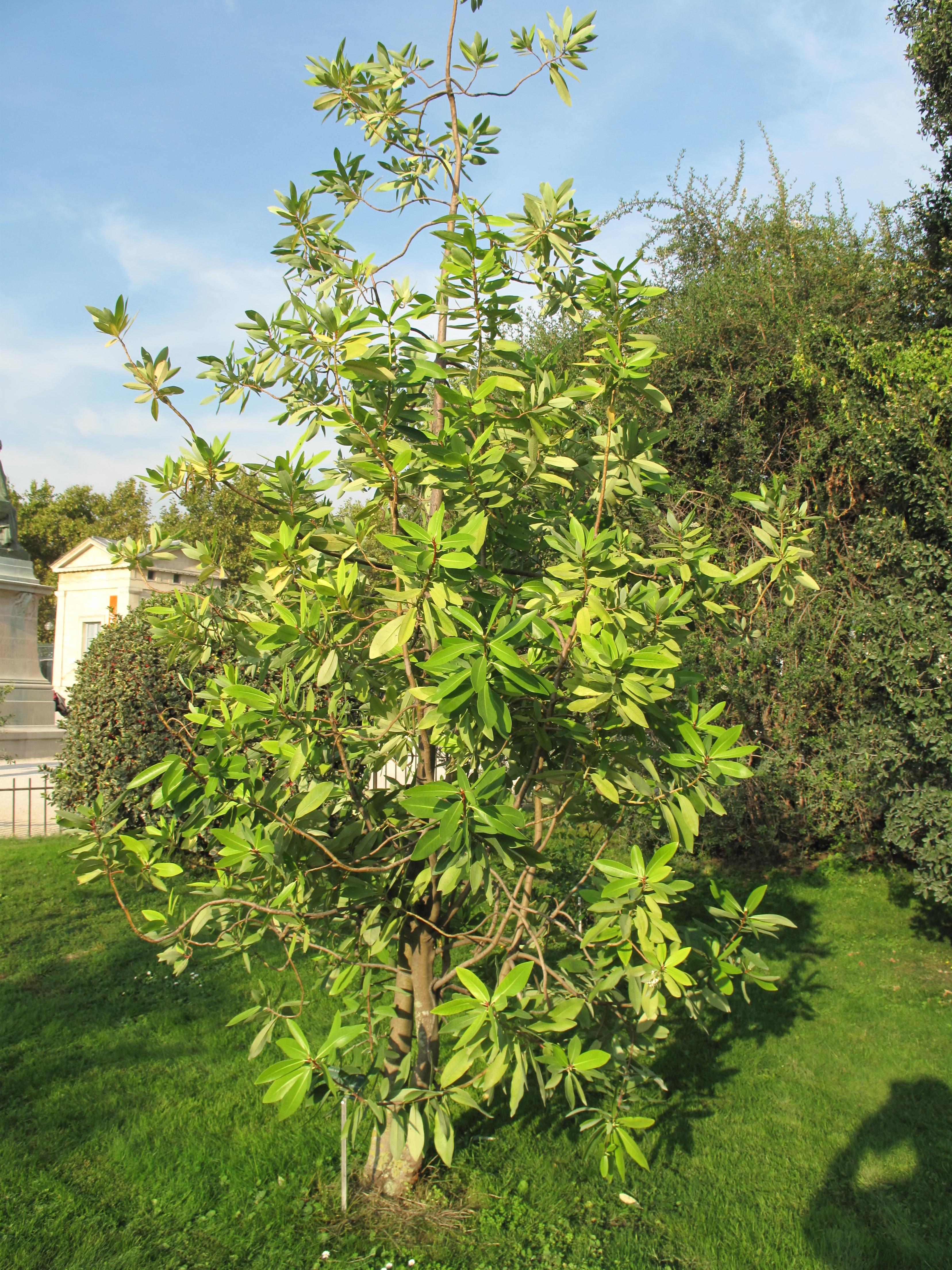 File drimys winteri jardin des plantes de paris jpg for Arboles altos para jardin