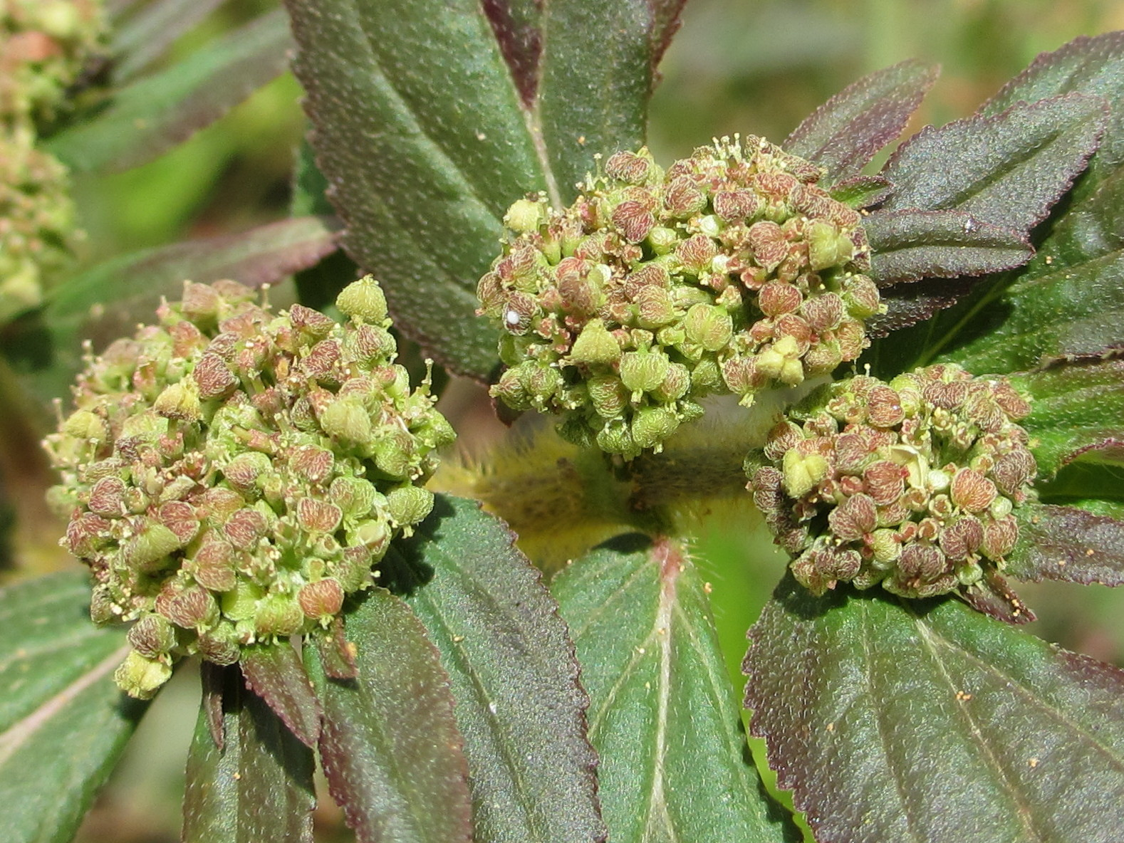 research papers about euphorbia hirta
