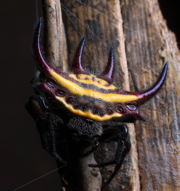Gasteracantha_falcicornis_%28yellow_spik