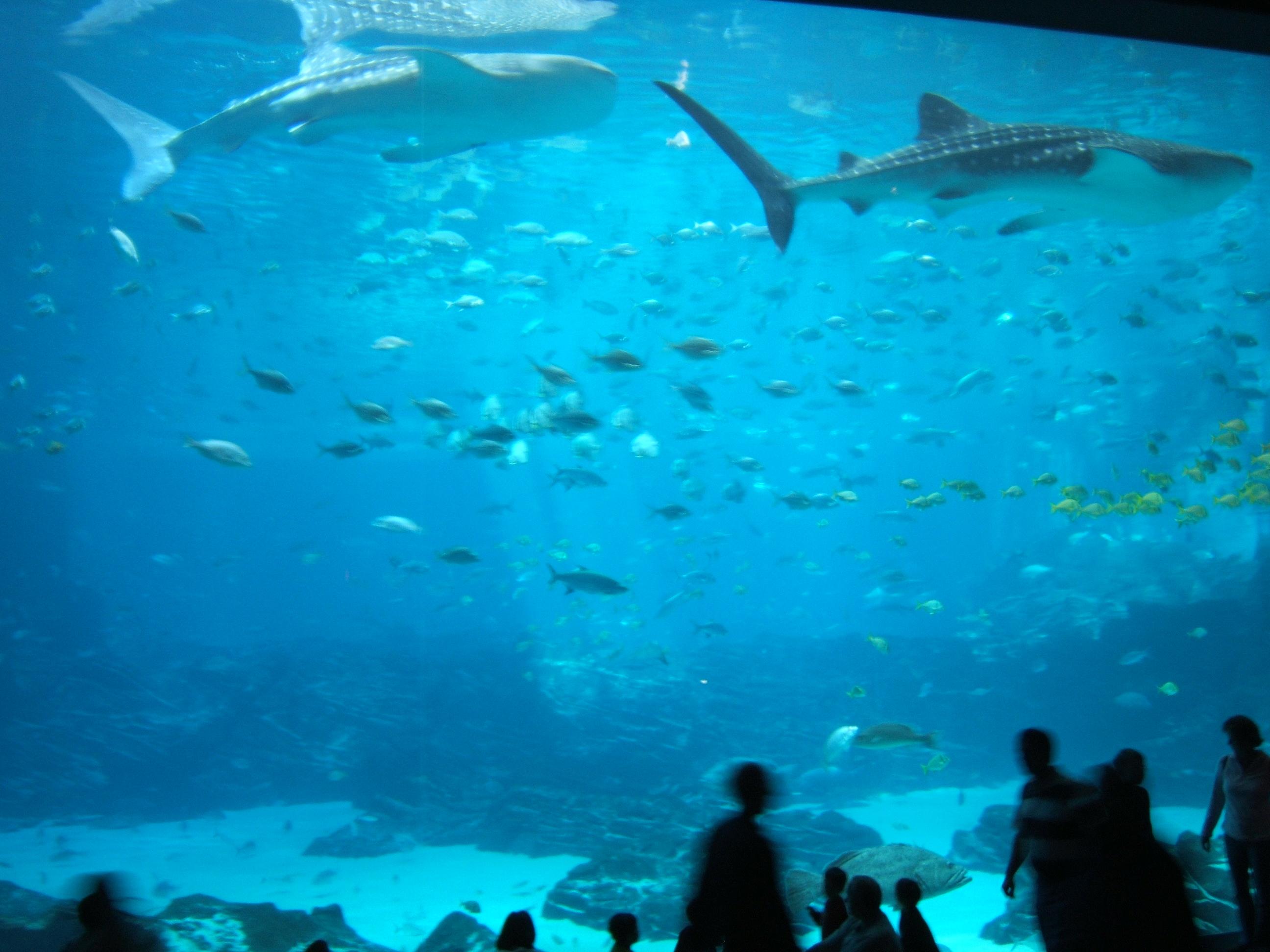 Fichier:Georgia-Aquarium-RequinsBaleines.JPG ? Wikipedia