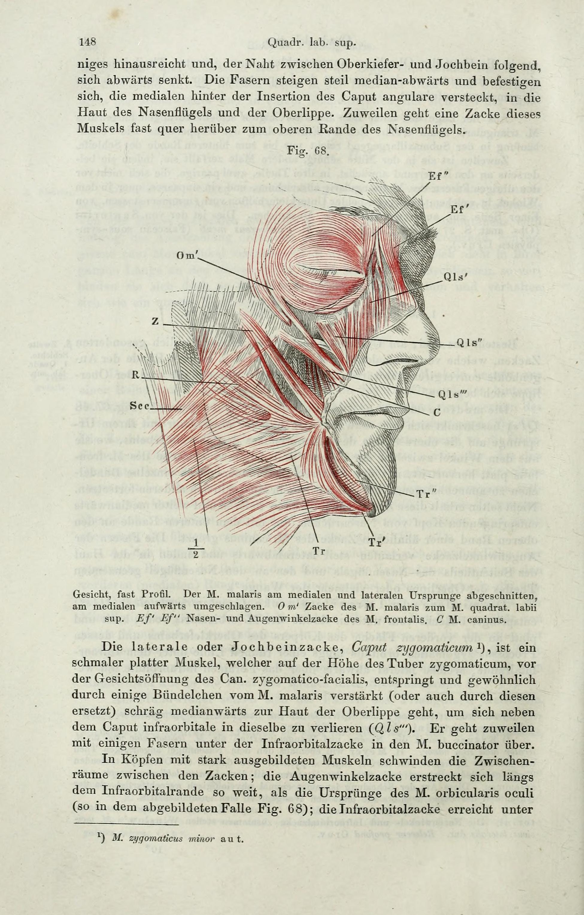File:Handbuch der systematischen Anatomie des Menschen (Page 148 ...
