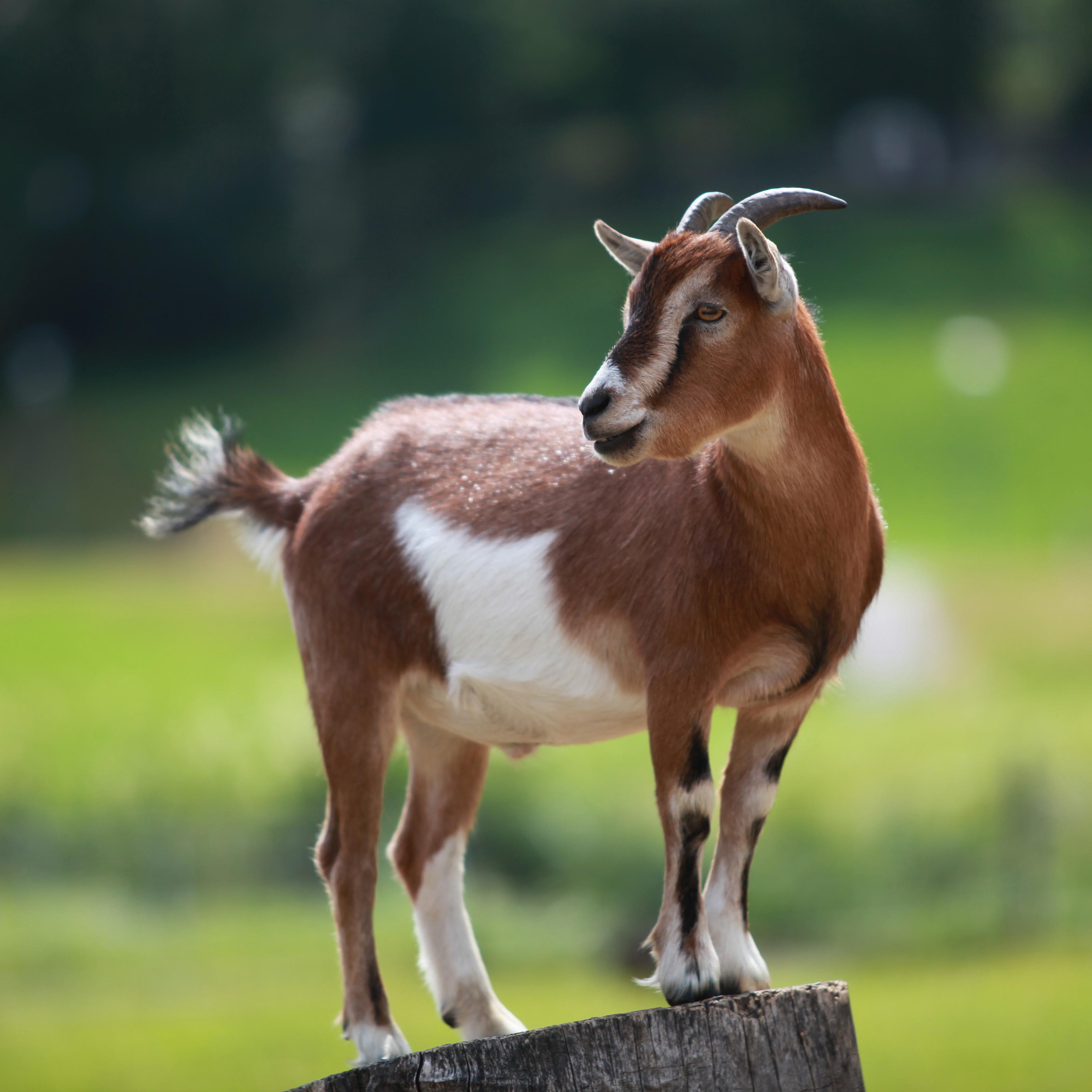 Goat w