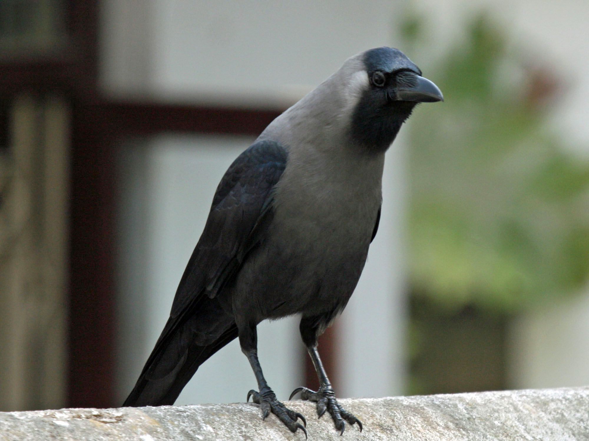 Safari Ecology Indian House Crows And Invasive Aliens - Bird Map Of The Us Crows