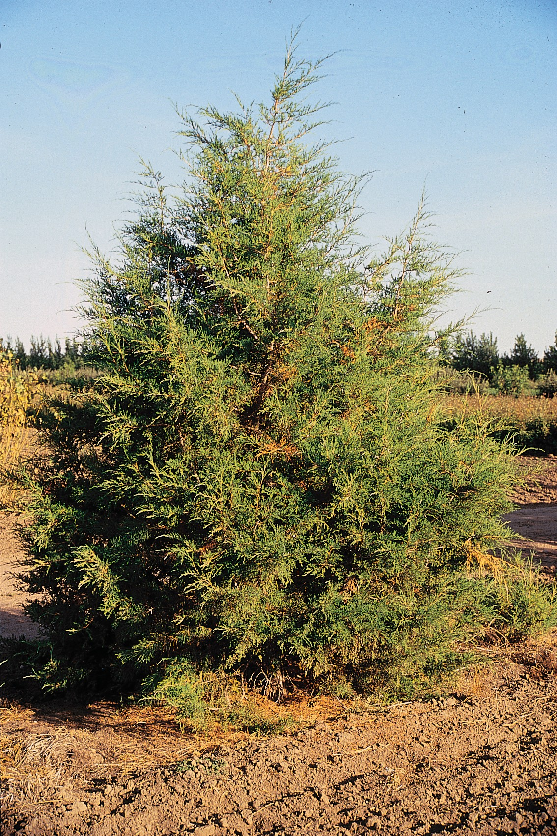 juniperus scopulorum wikipedia