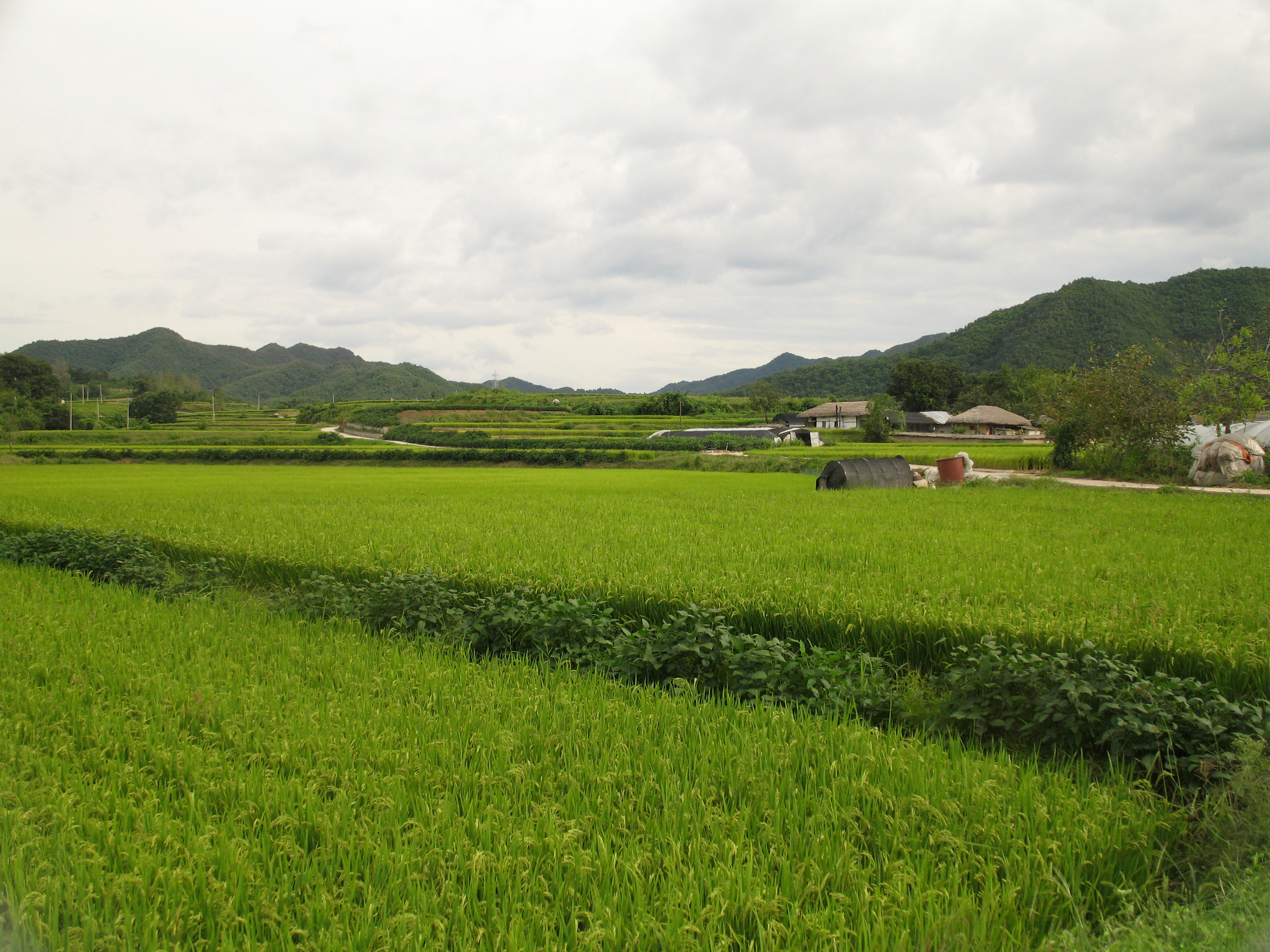 rice fields - photo #26