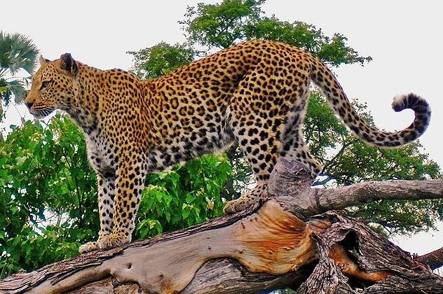 Leopard_on_a_horizontal_tree_trunk.jpg