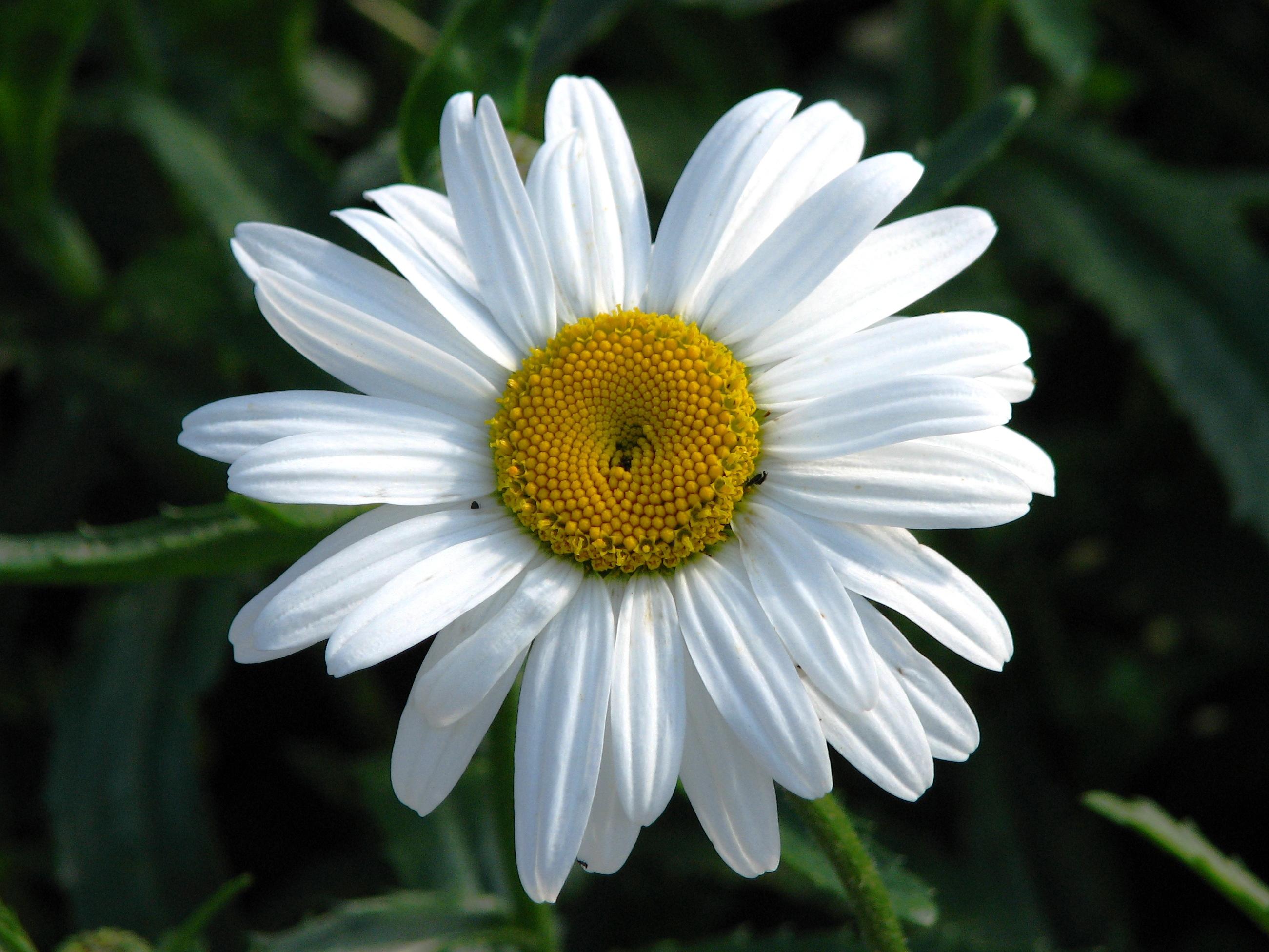 Fileleucanthemum Silberprinzesschen 01g Wikimedia Commons