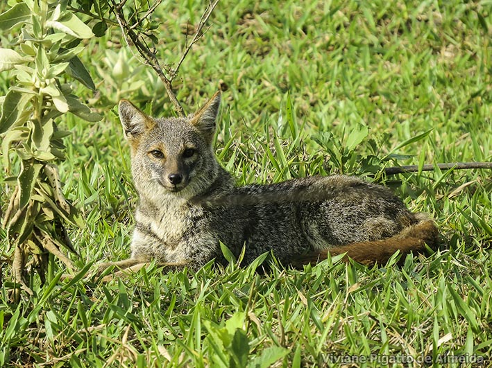 The average adult weight of a Hoary fox is 4.23 kg (9.33 lbs)
