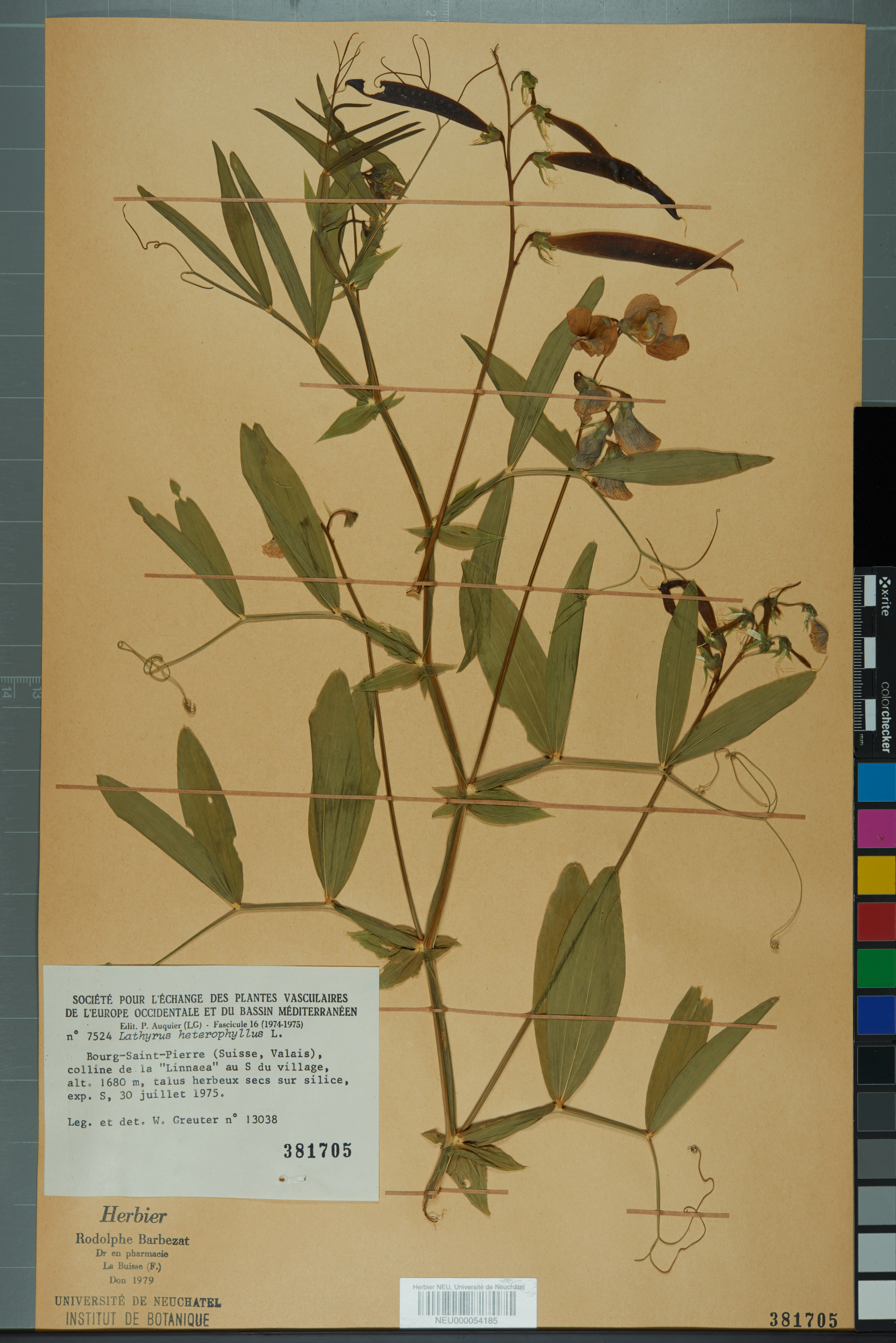 Plantes Pour Talus Sec file:neuchâtel herbarium - lathyrus heterophyllus