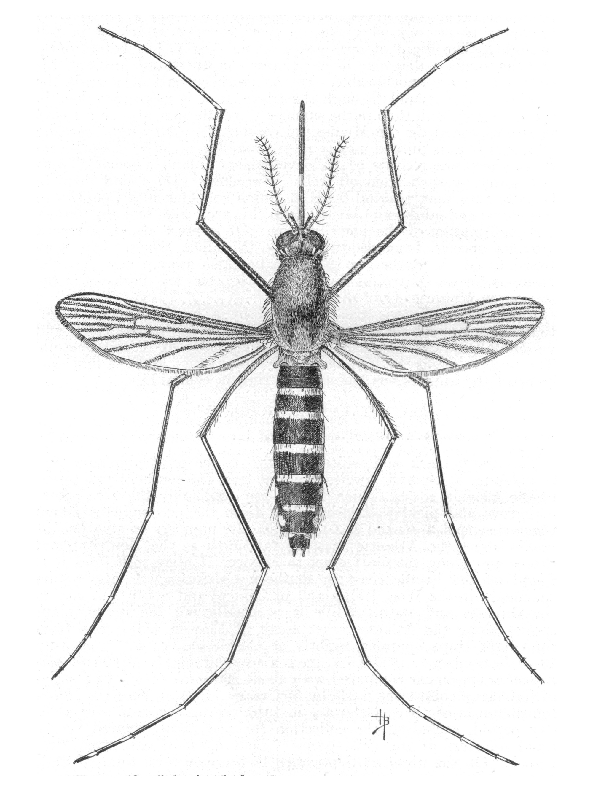 Anopheles mosquito drawing - photo#16