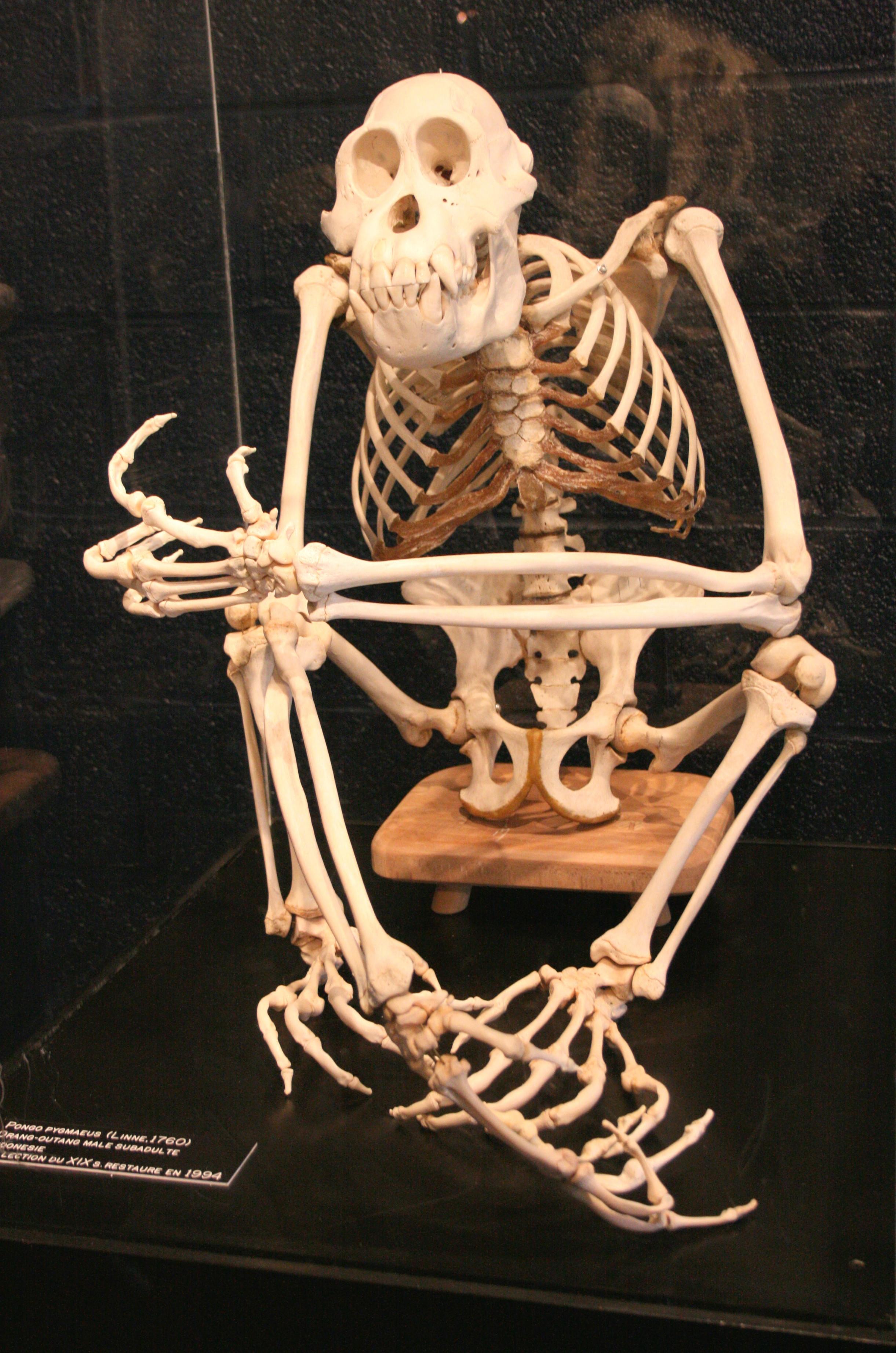 Esqueleto de orangután