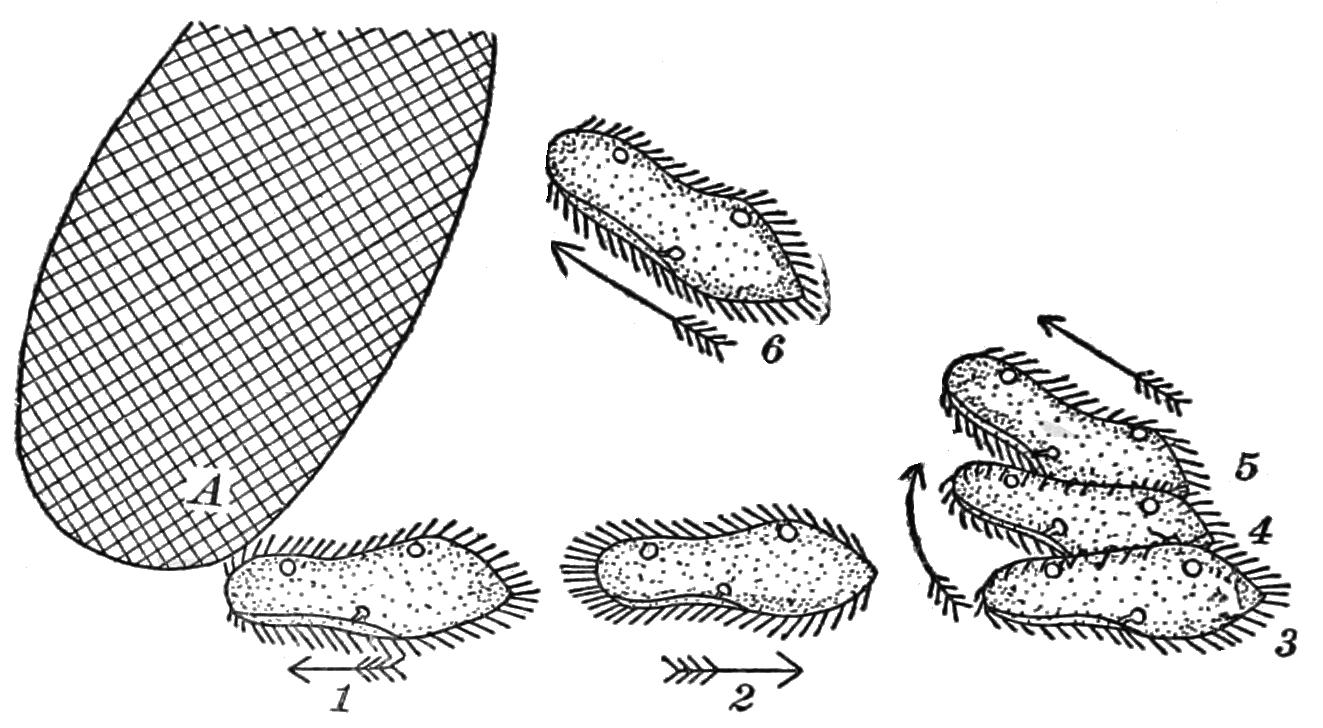 Filepsm v85 d034 diagram of the avoiding reaction of parameciumg filepsm v85 d034 diagram of the avoiding reaction of parameciumg ccuart Images