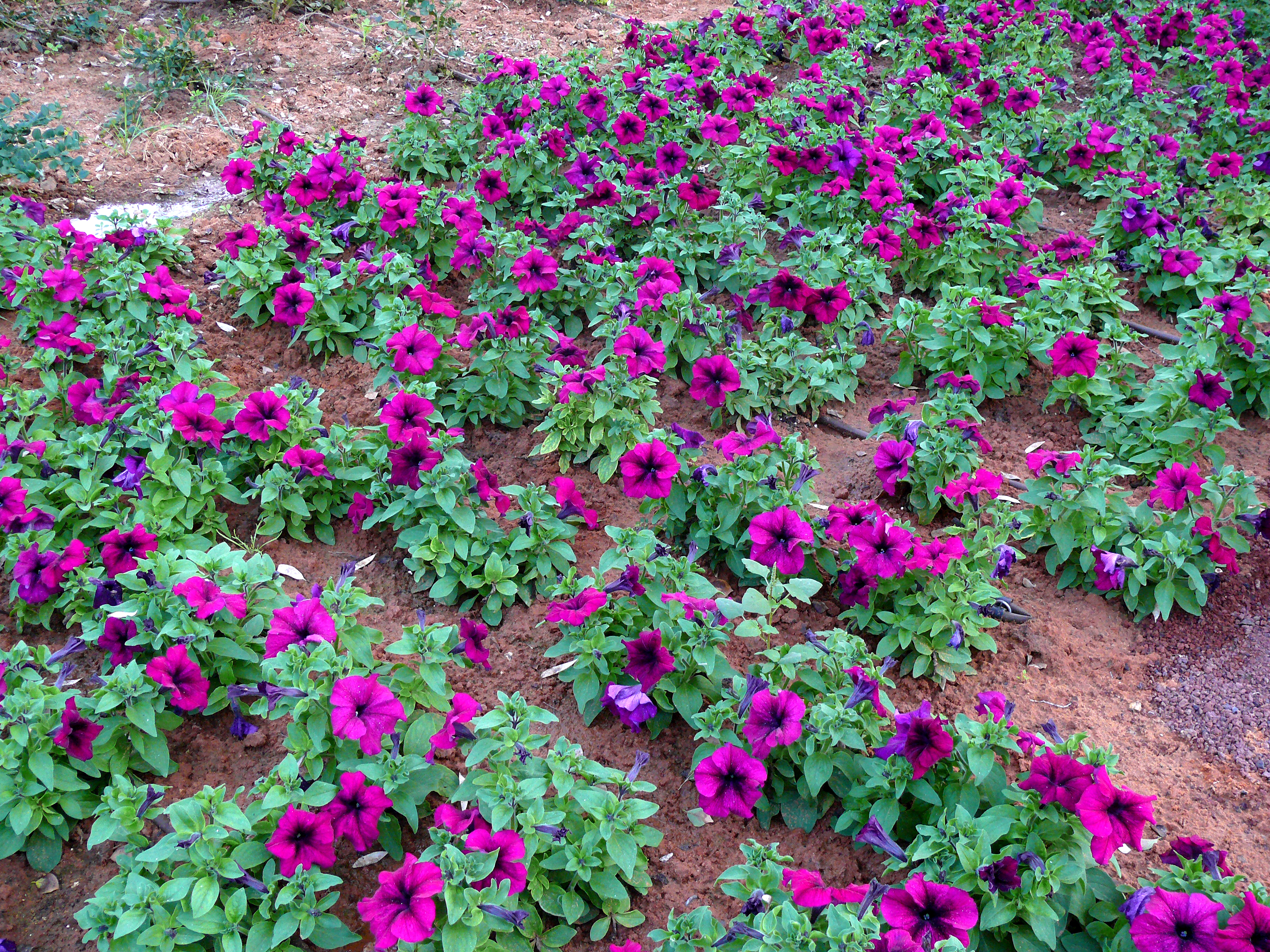 File petunia wikimedia commons for Arbustos para jardin