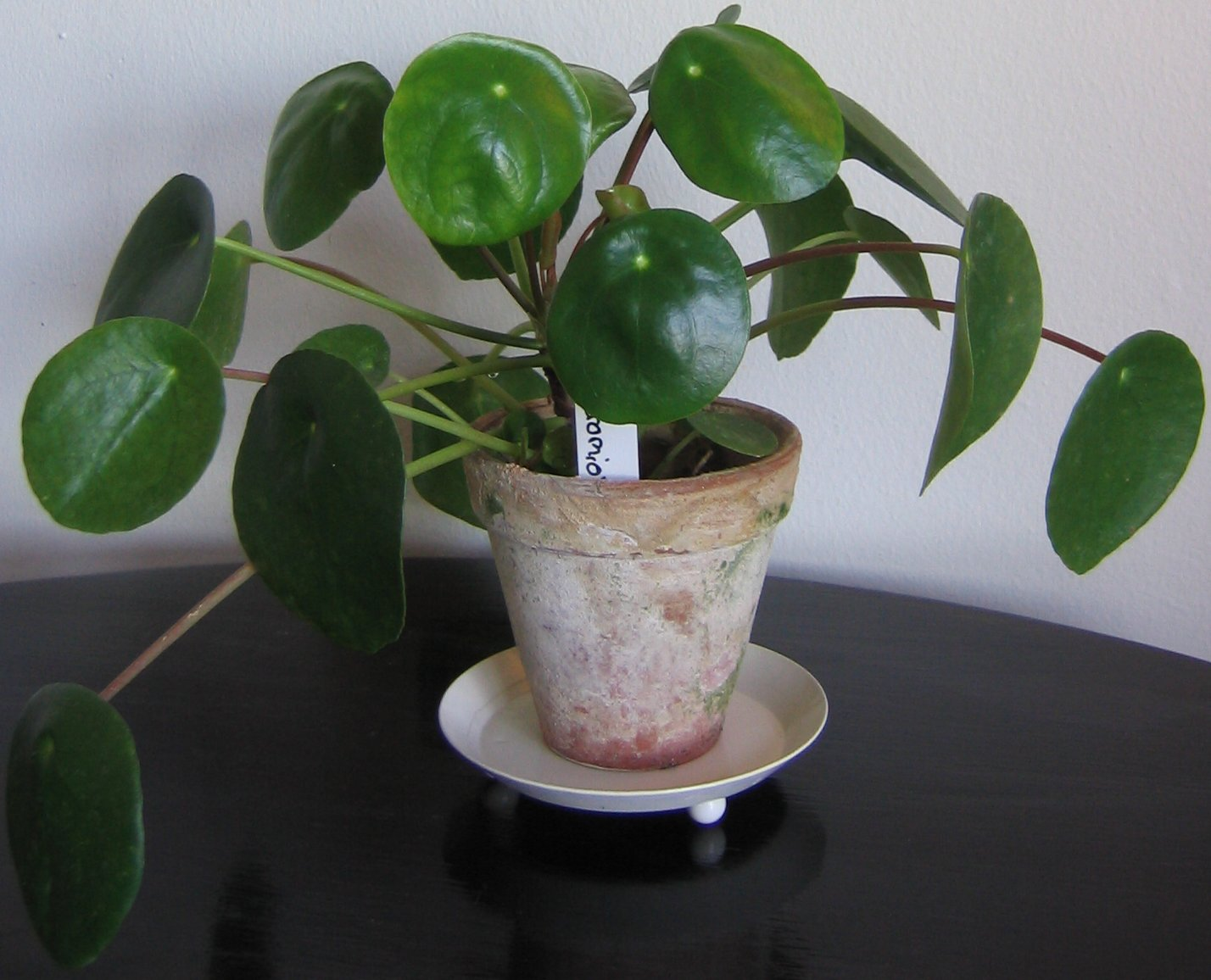 File pilea wikipedia for Best easy indoor plants