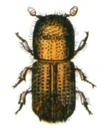 Illustration aus Calwers Käferbuch