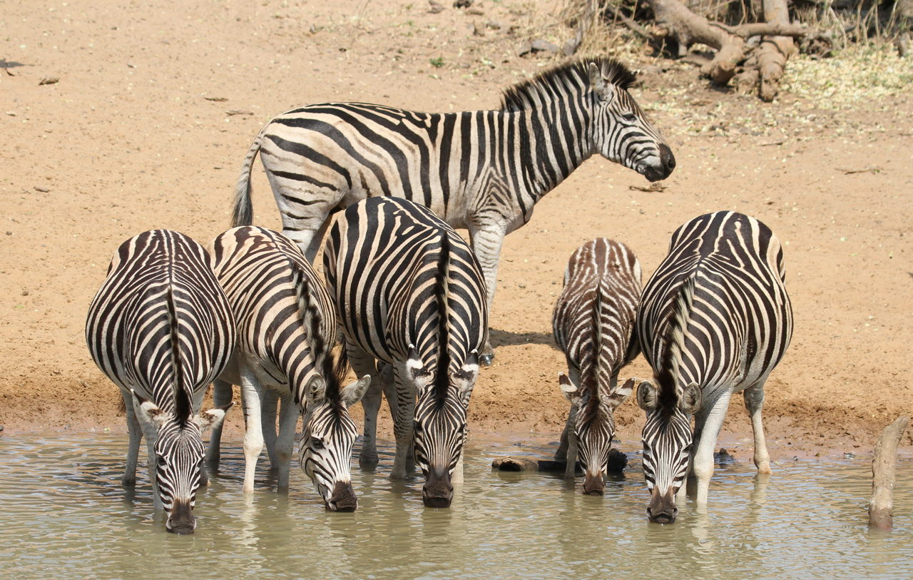 Image result for zebra warthog at waterhole