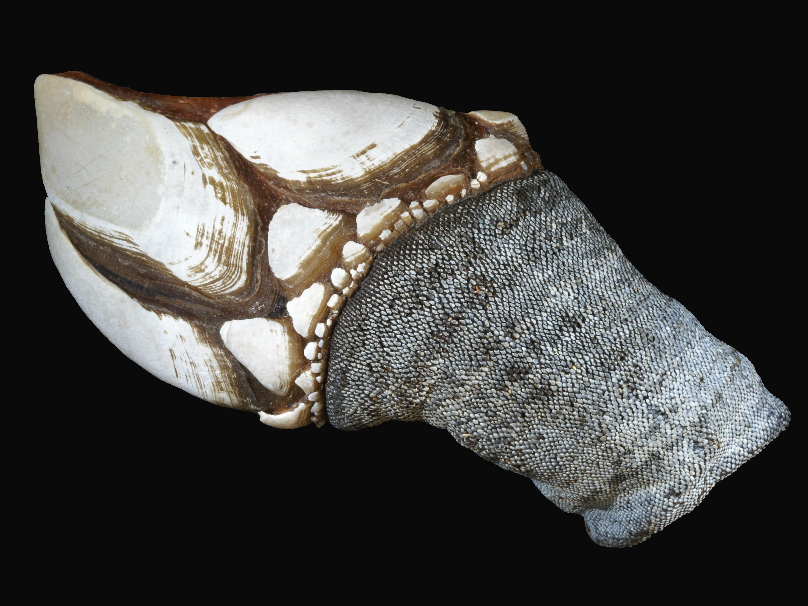 Pollicipes cornucopia