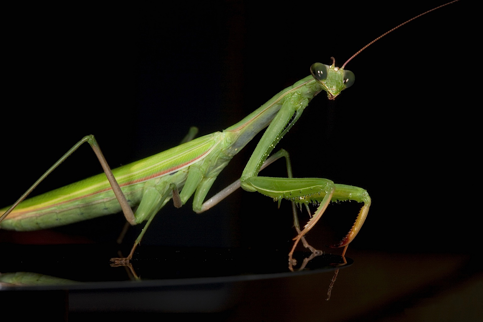 the description of the praying mantis mantis religiosa Go right in and chew him a new head: a case of mantis religiosa  these were  descriptions that had my mind leaping to the praying mantis the brute violence.