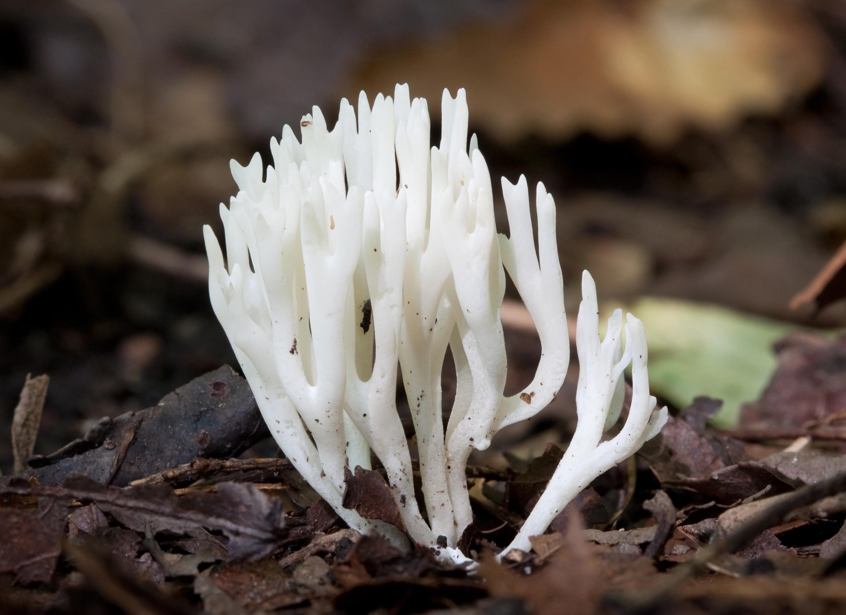 Coral Mushroom Edible