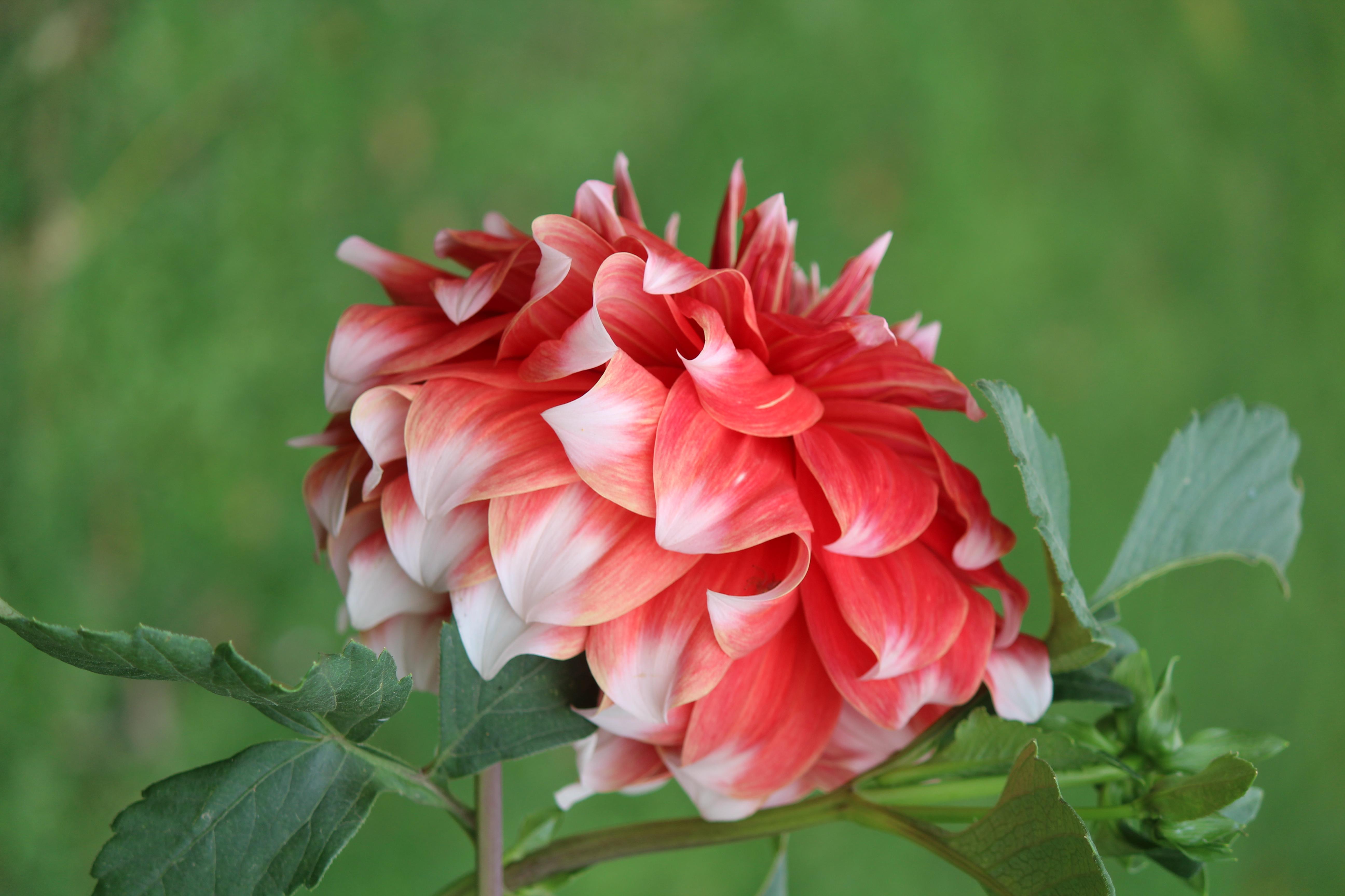 Filered Dahlia Flower Side Viewg Wikimedia Commons