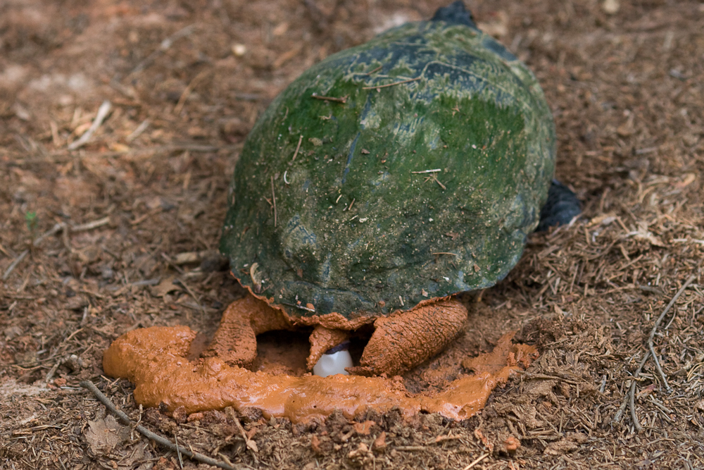 How big well a male yellow bellied turtle get  Answerscom