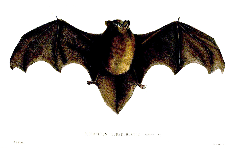 New Zealand longtailed bat  Wikiwand